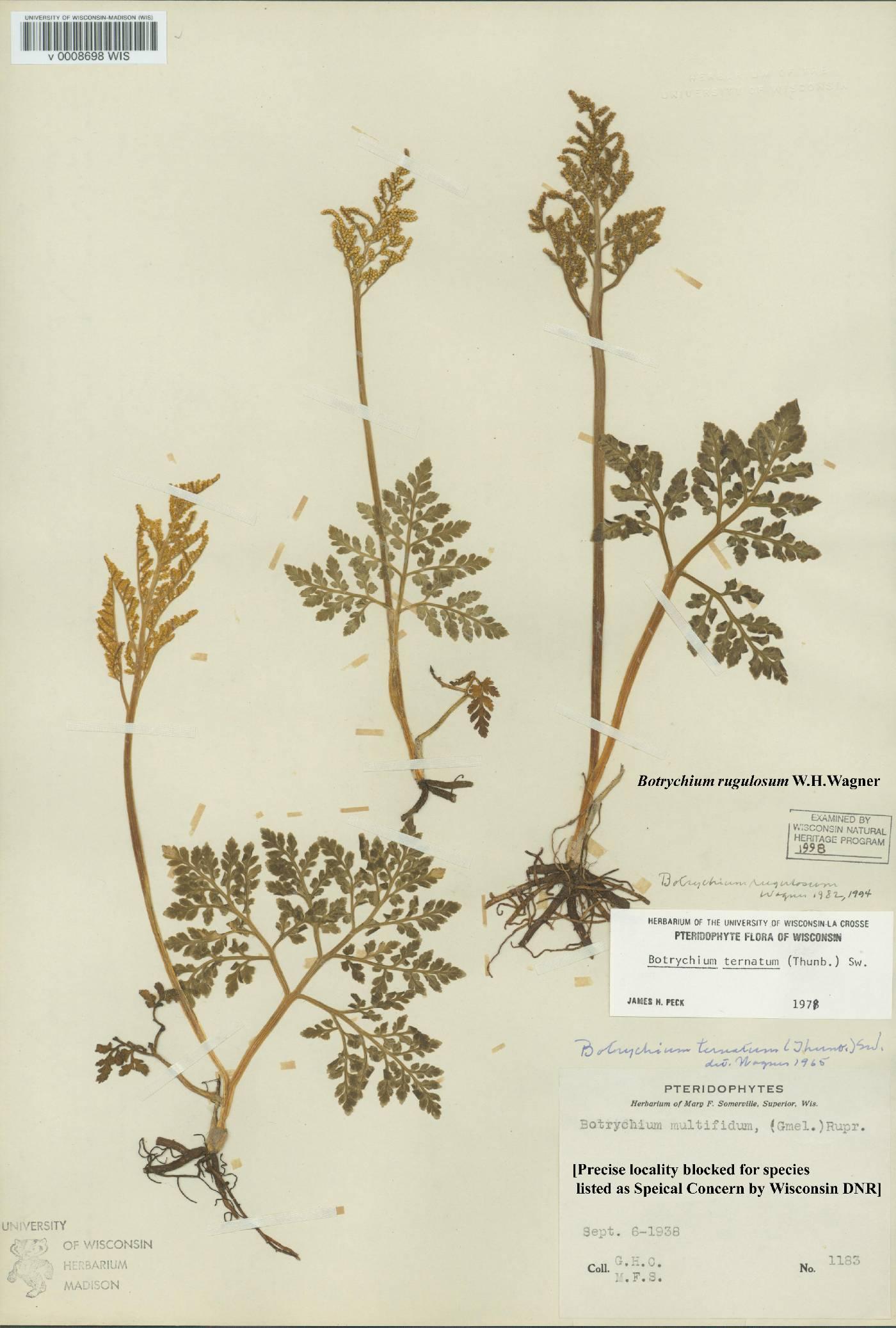 Sceptridium rugulosum image