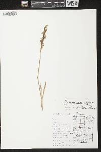 Image of Spiranthes