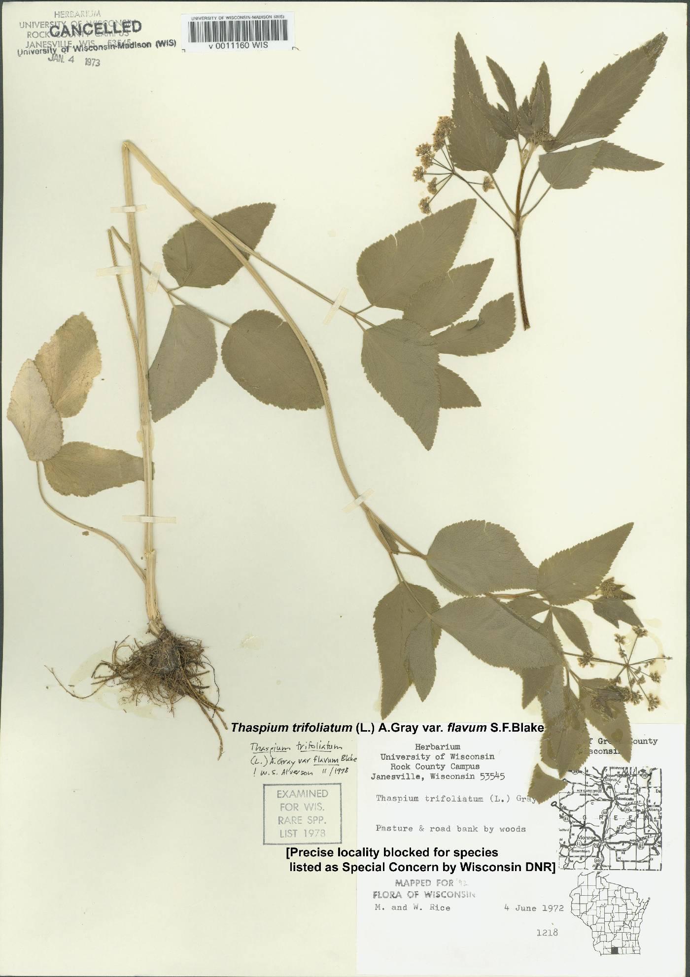 Thaspium trifoliatum var. flavum image