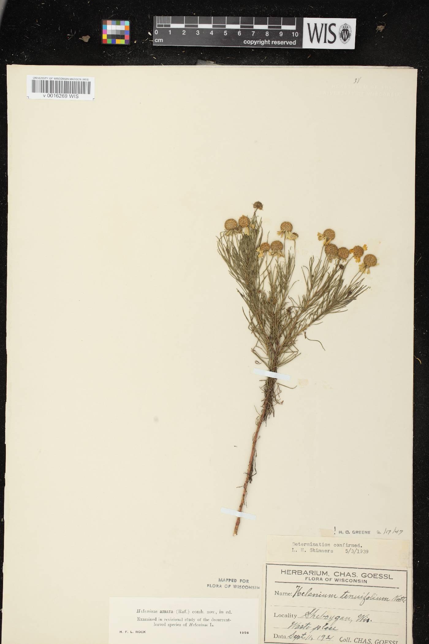 Helenium amarum var. amarum image