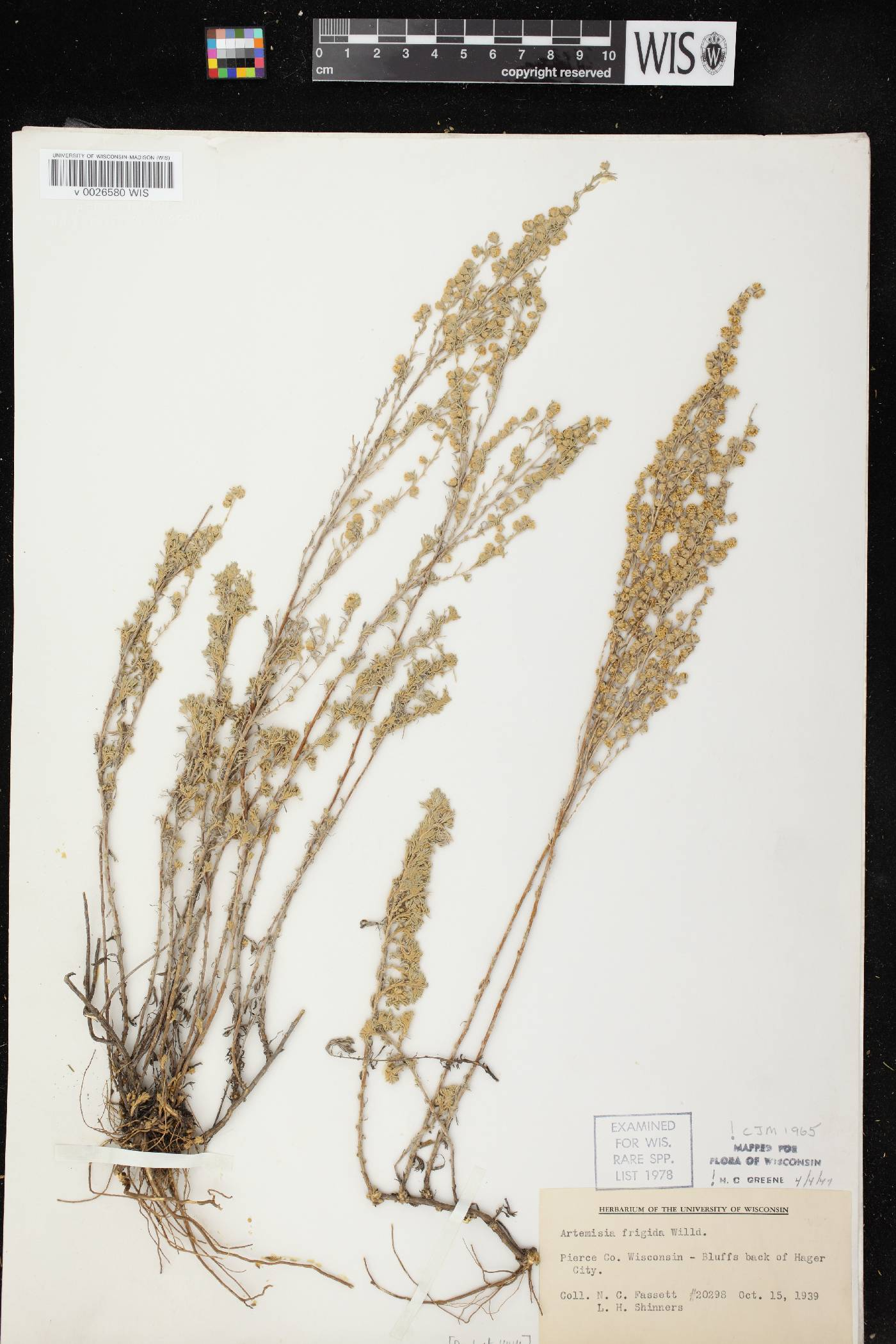 Artemisia frigida image