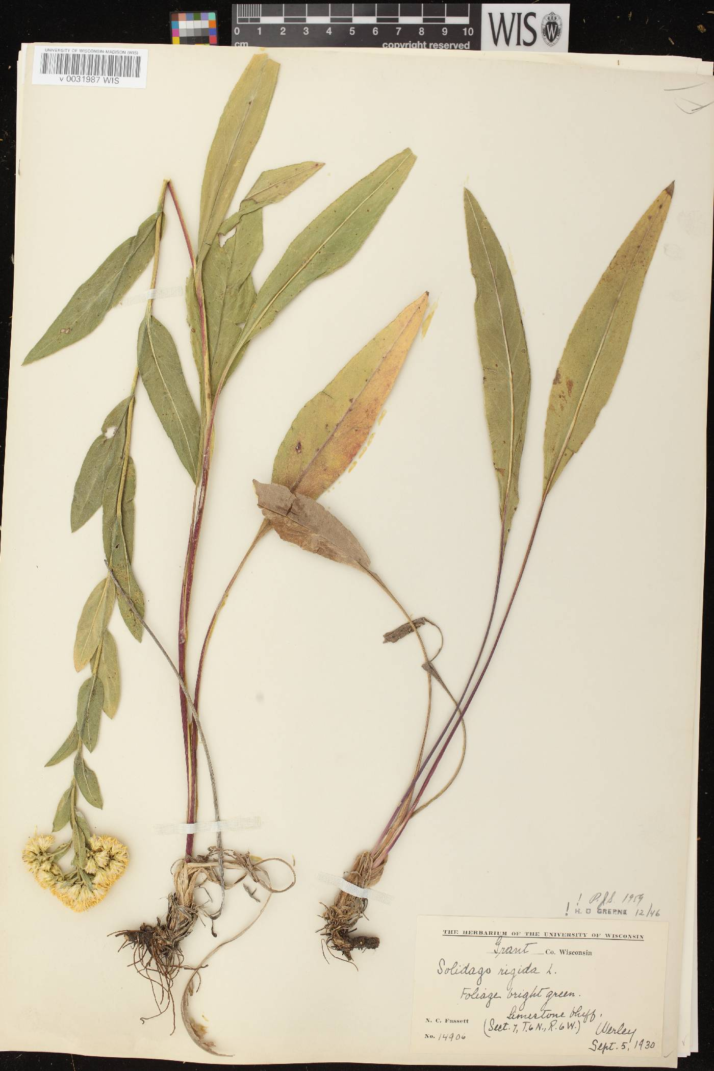 Solidago rigida subsp. rigida image