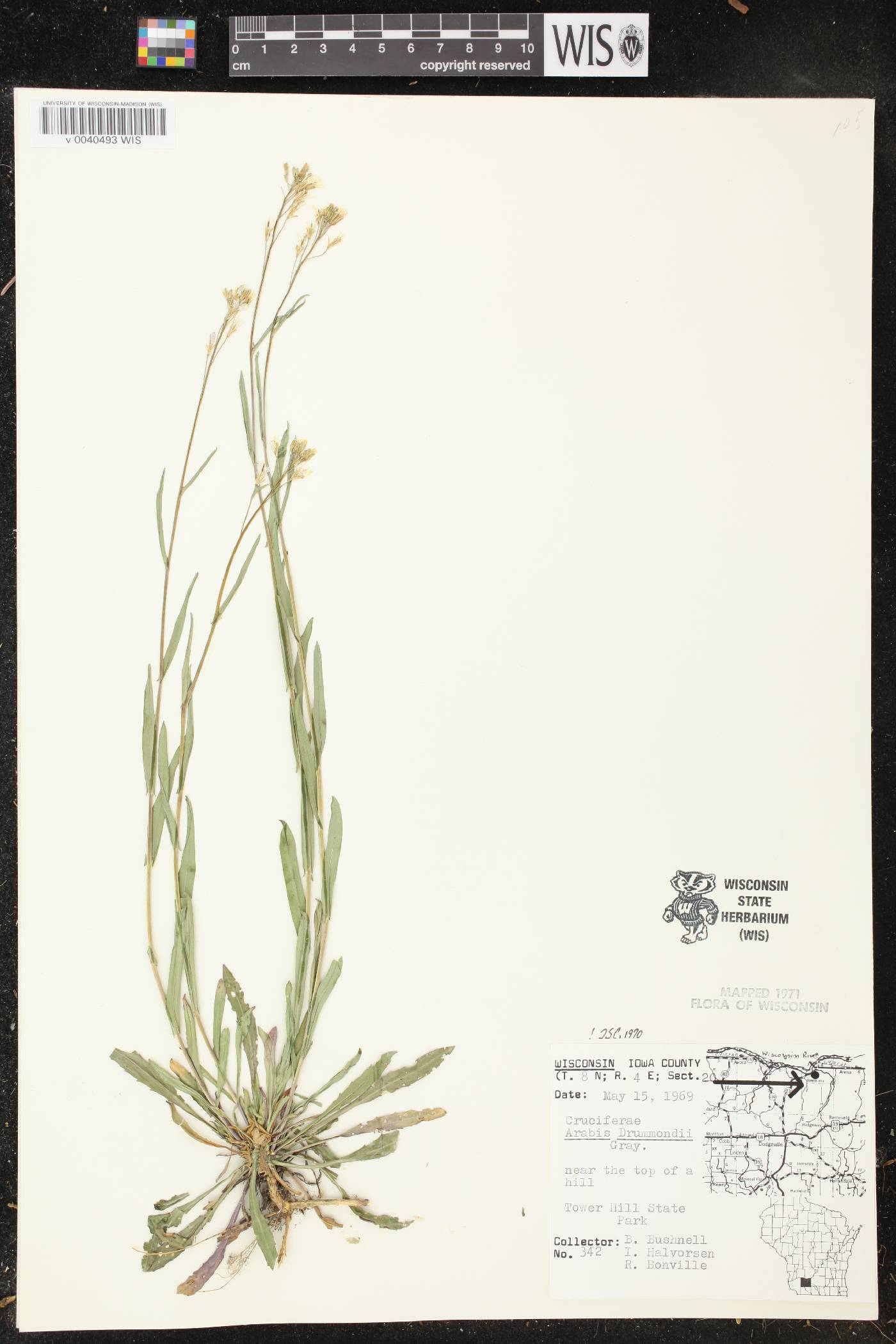 Boechera stricta image