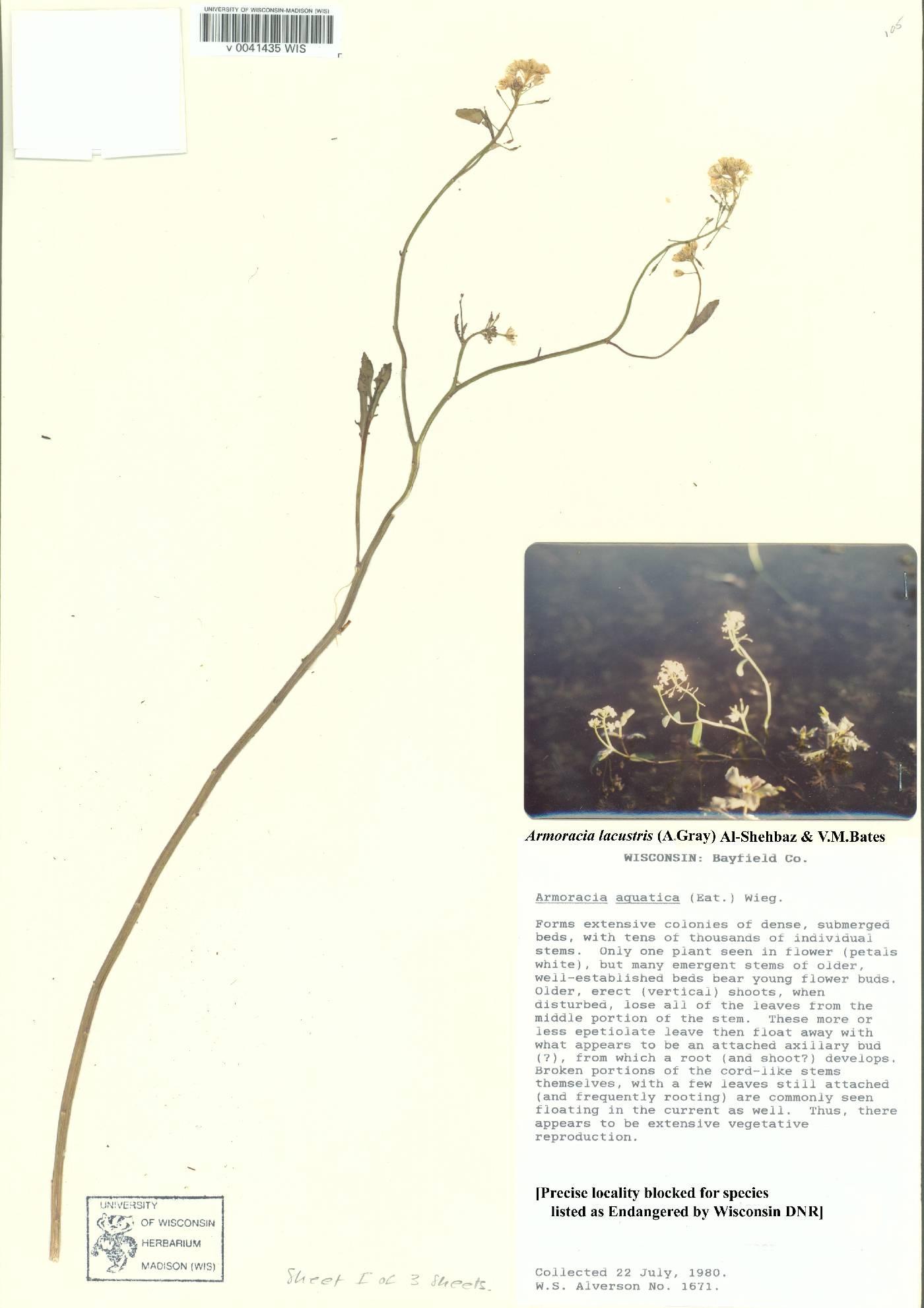 Rorippa aquatica image