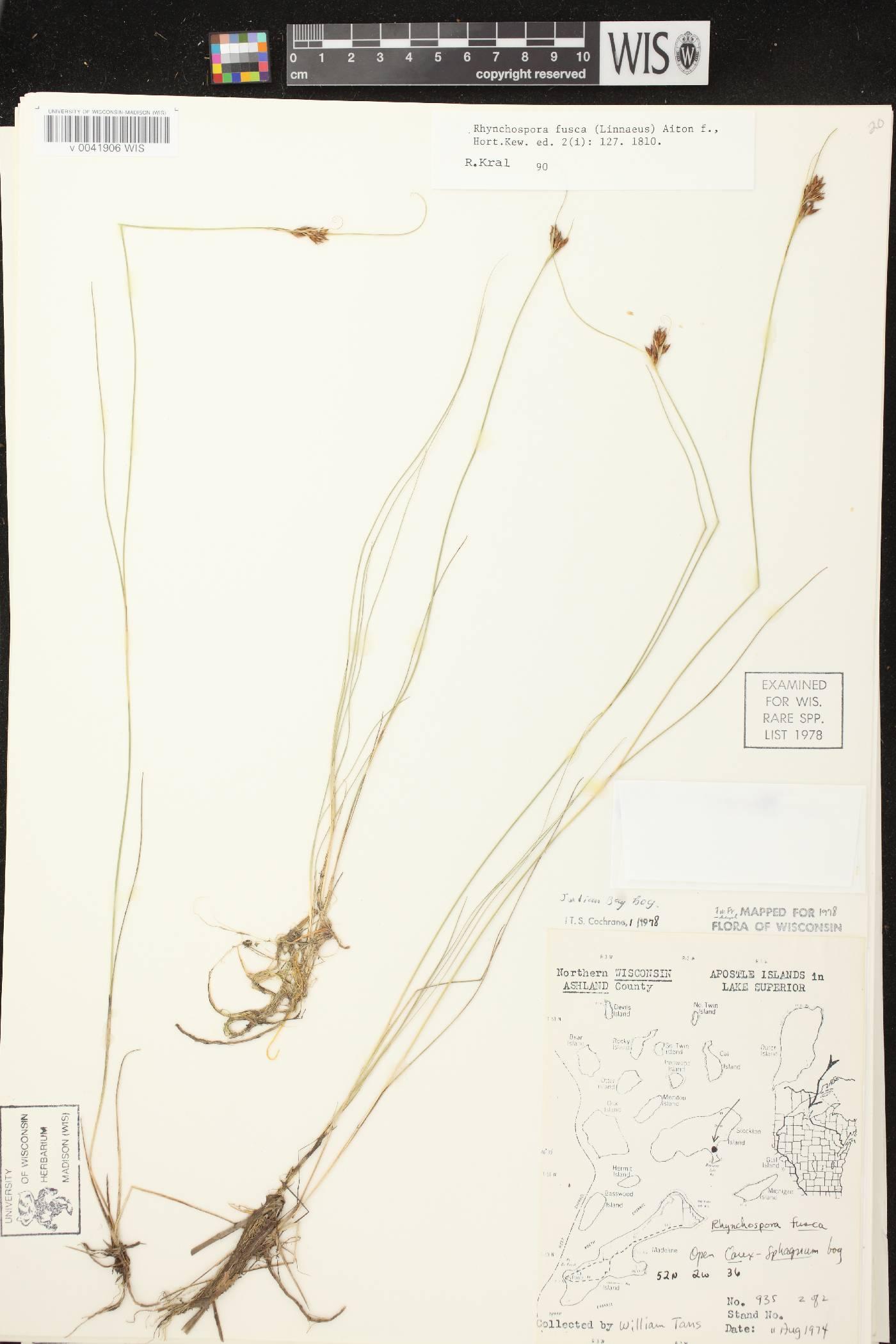 Rhynchospora fusca image
