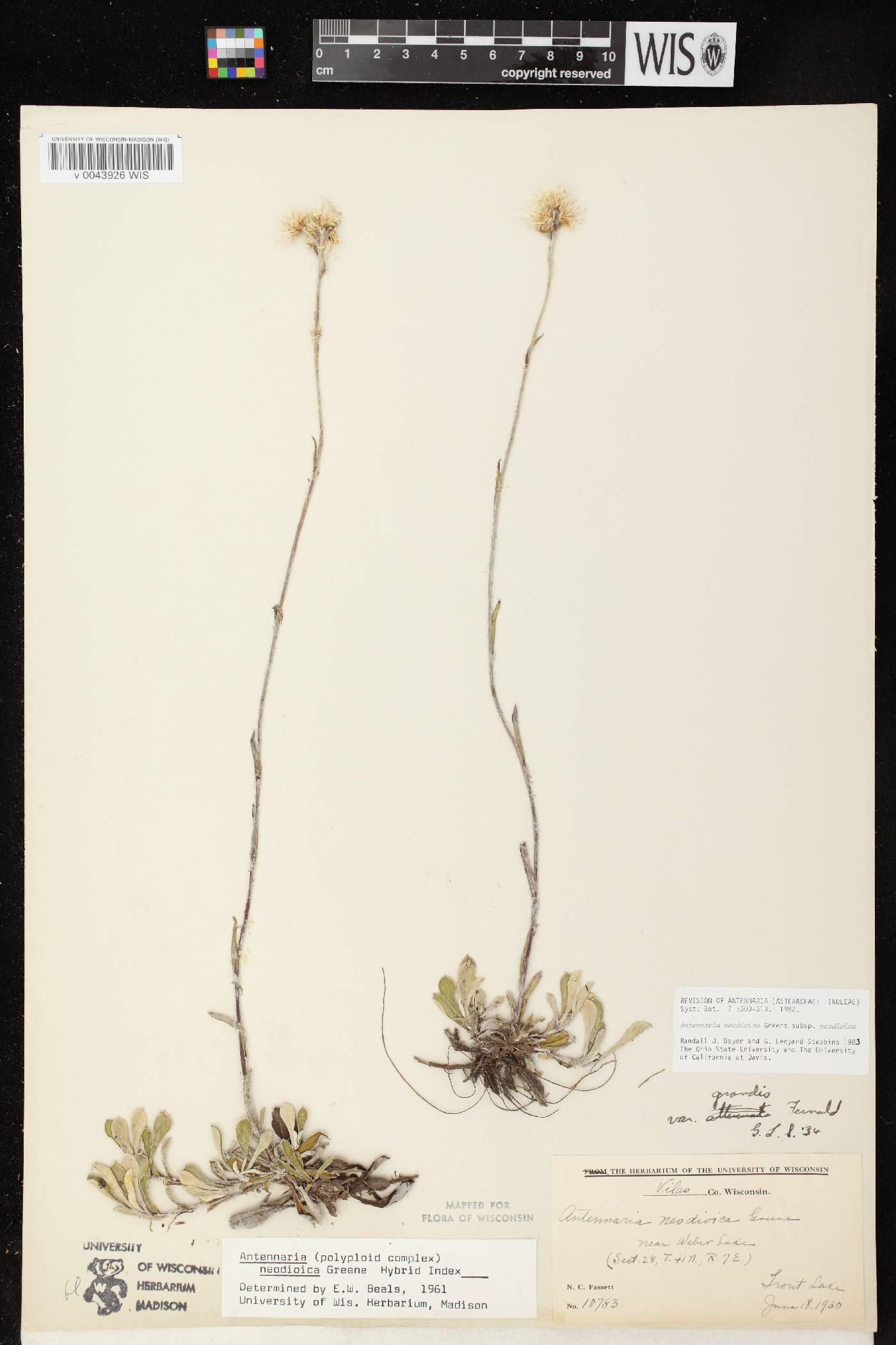 Antennaria howellii subsp. neodioica image