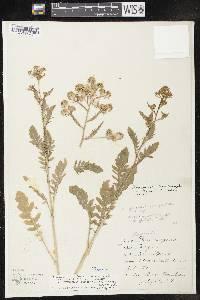 Image of Rorippa palustris subsp. palustris