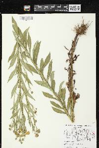 Image of Helenium autumnale