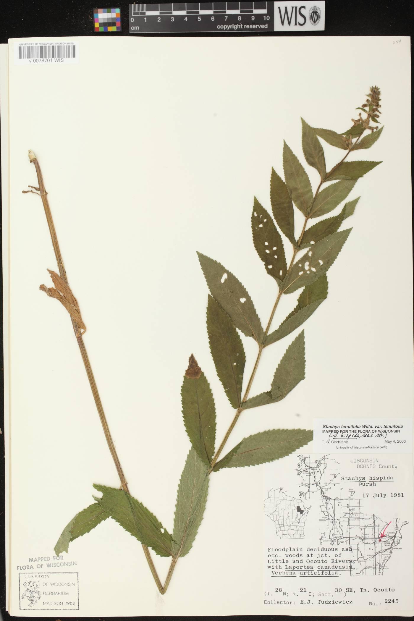 Stachys tenuifolia image