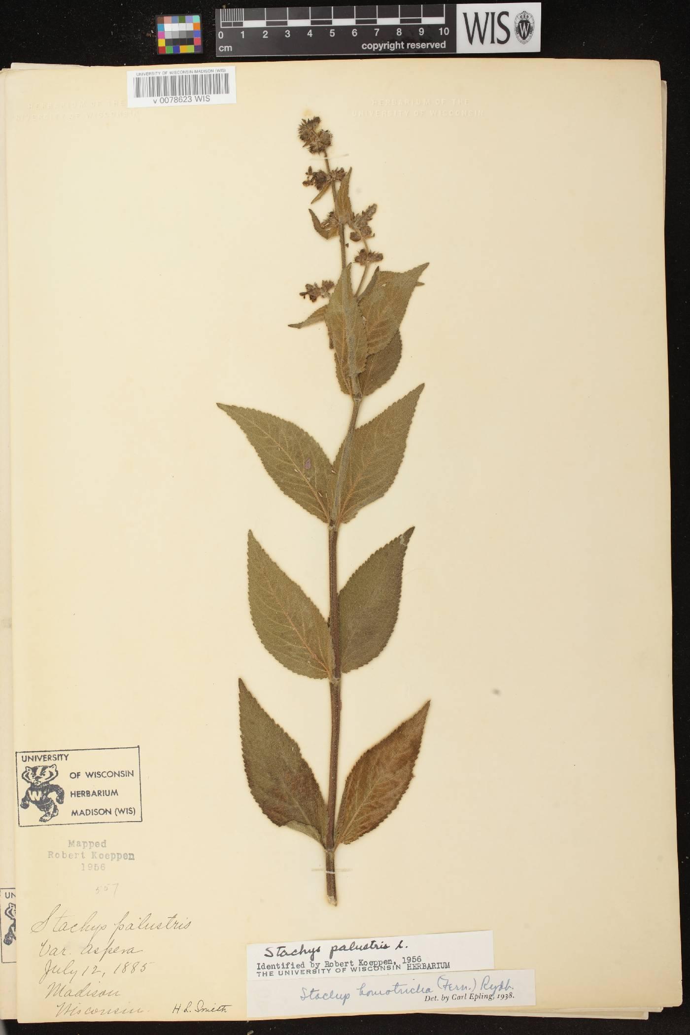 Stachys arenicola image