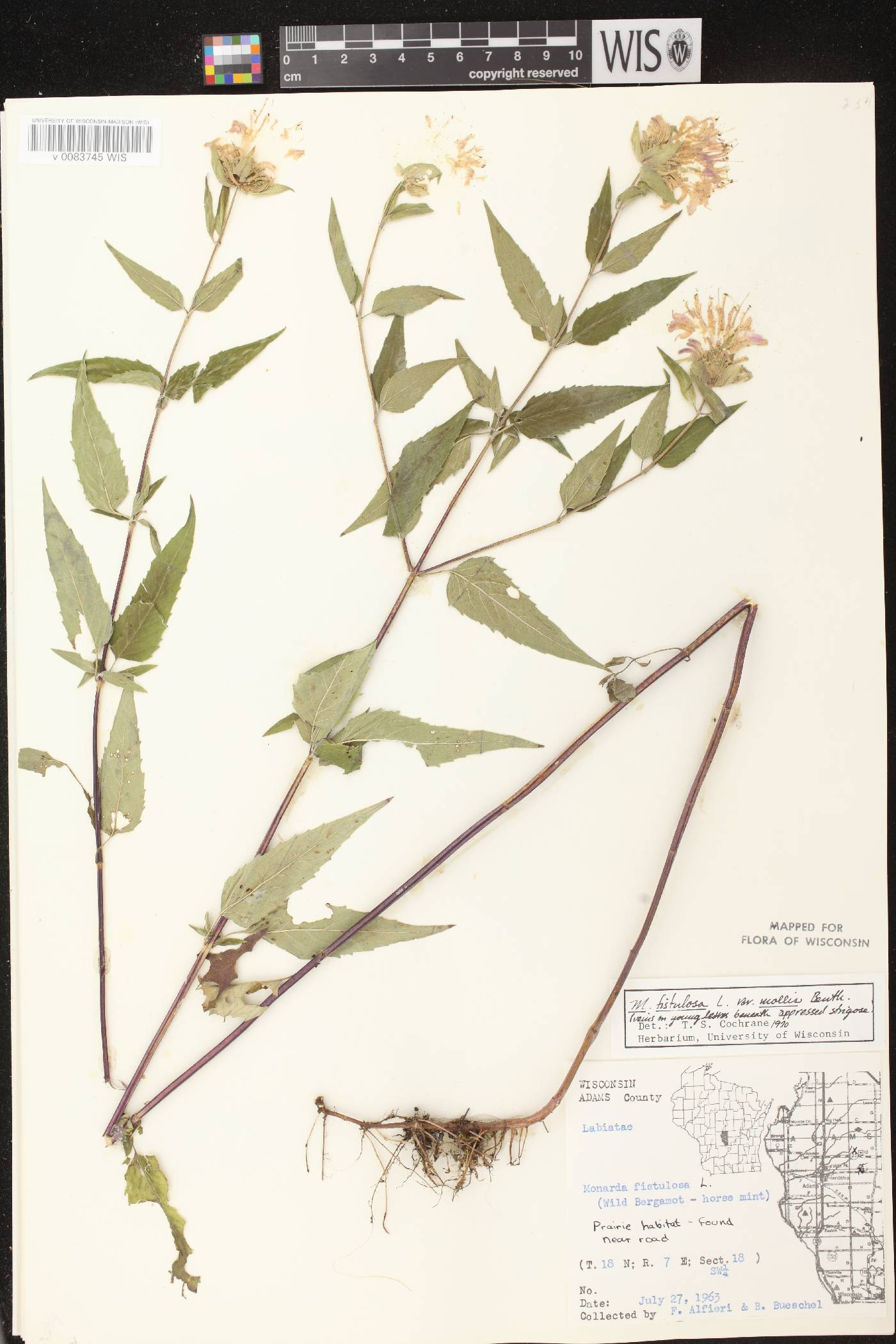 Monarda fistulosa subsp. fistulosa image