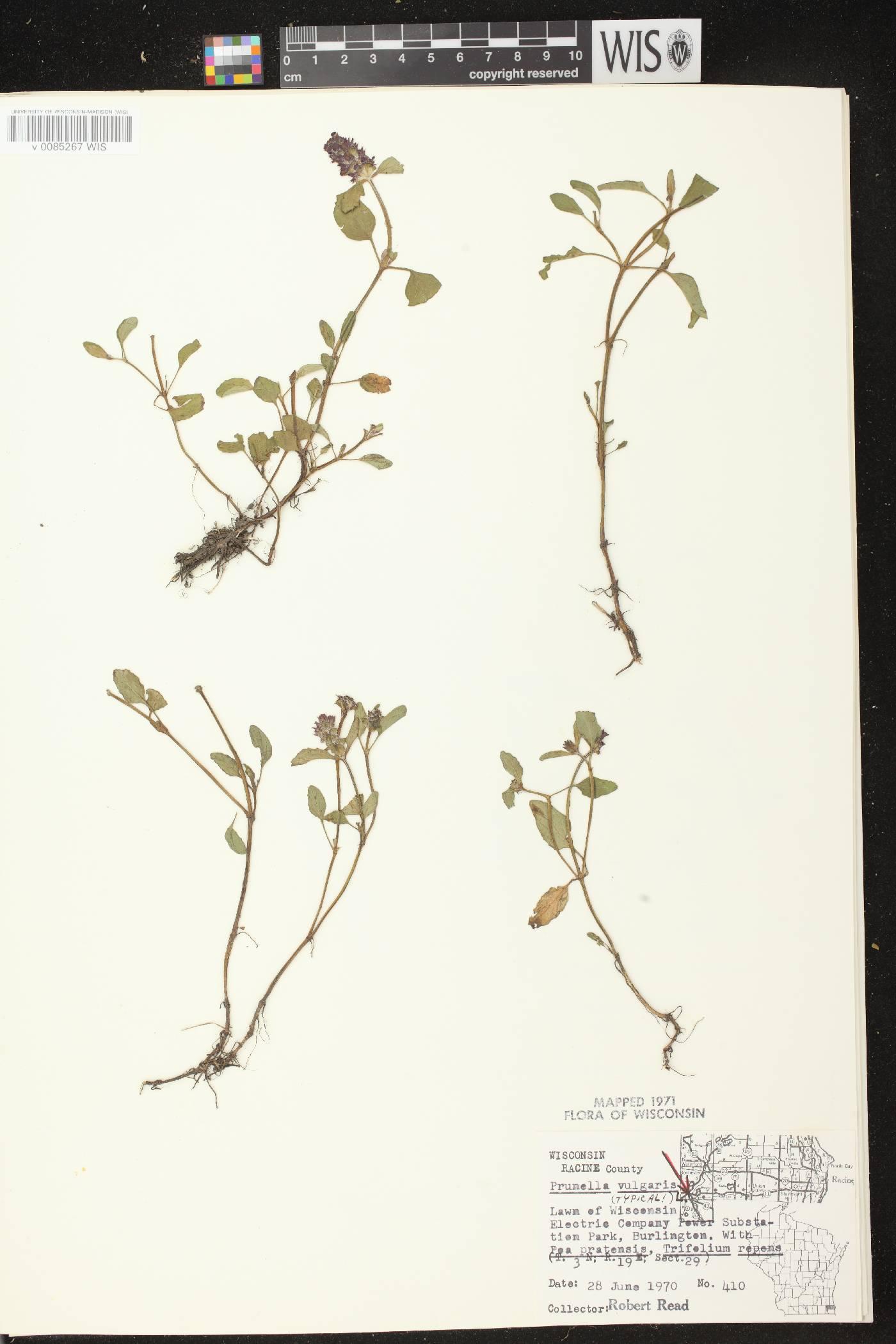 Prunella vulgaris subsp. vulgaris image