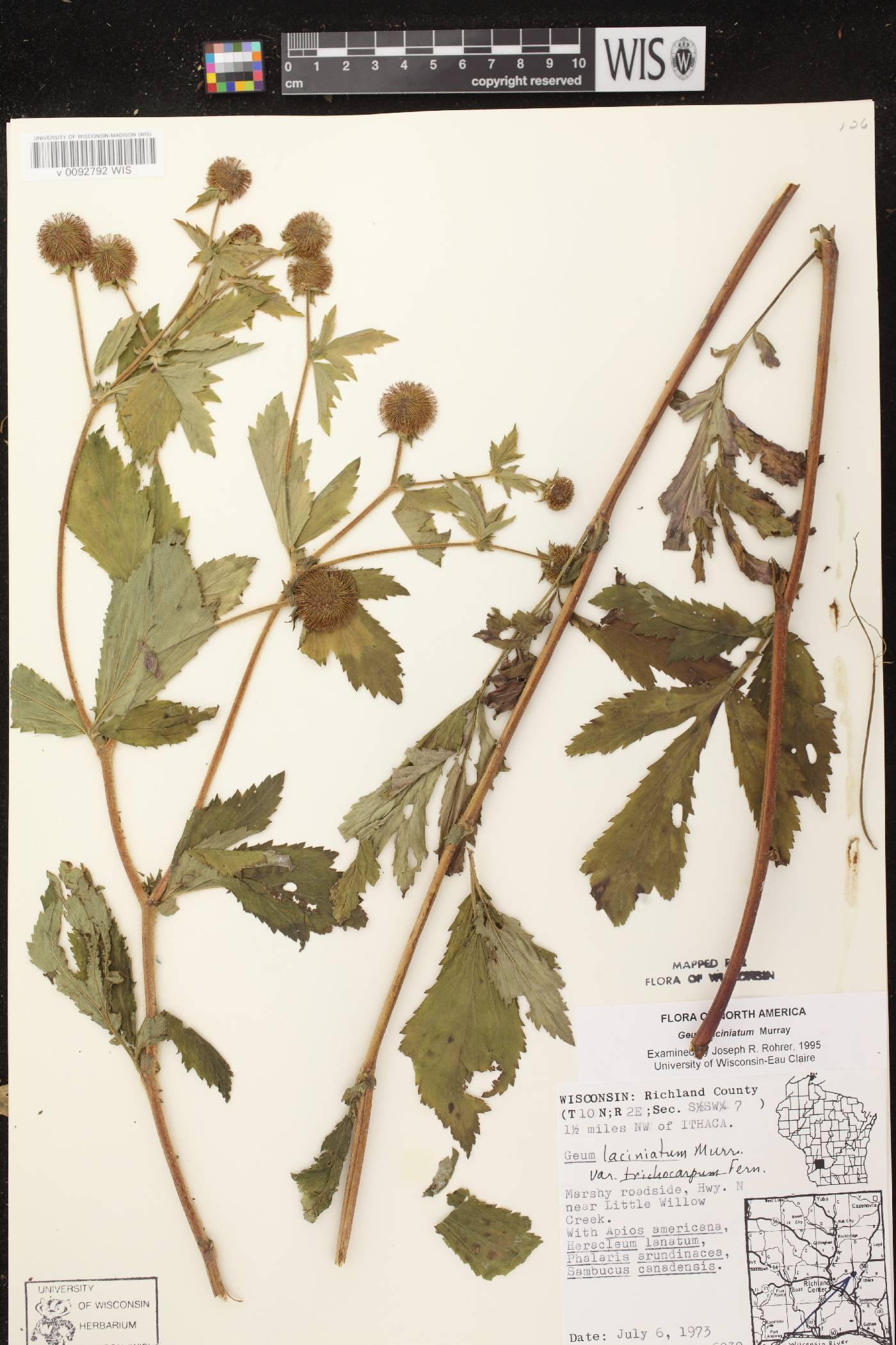 Geum laciniatum image