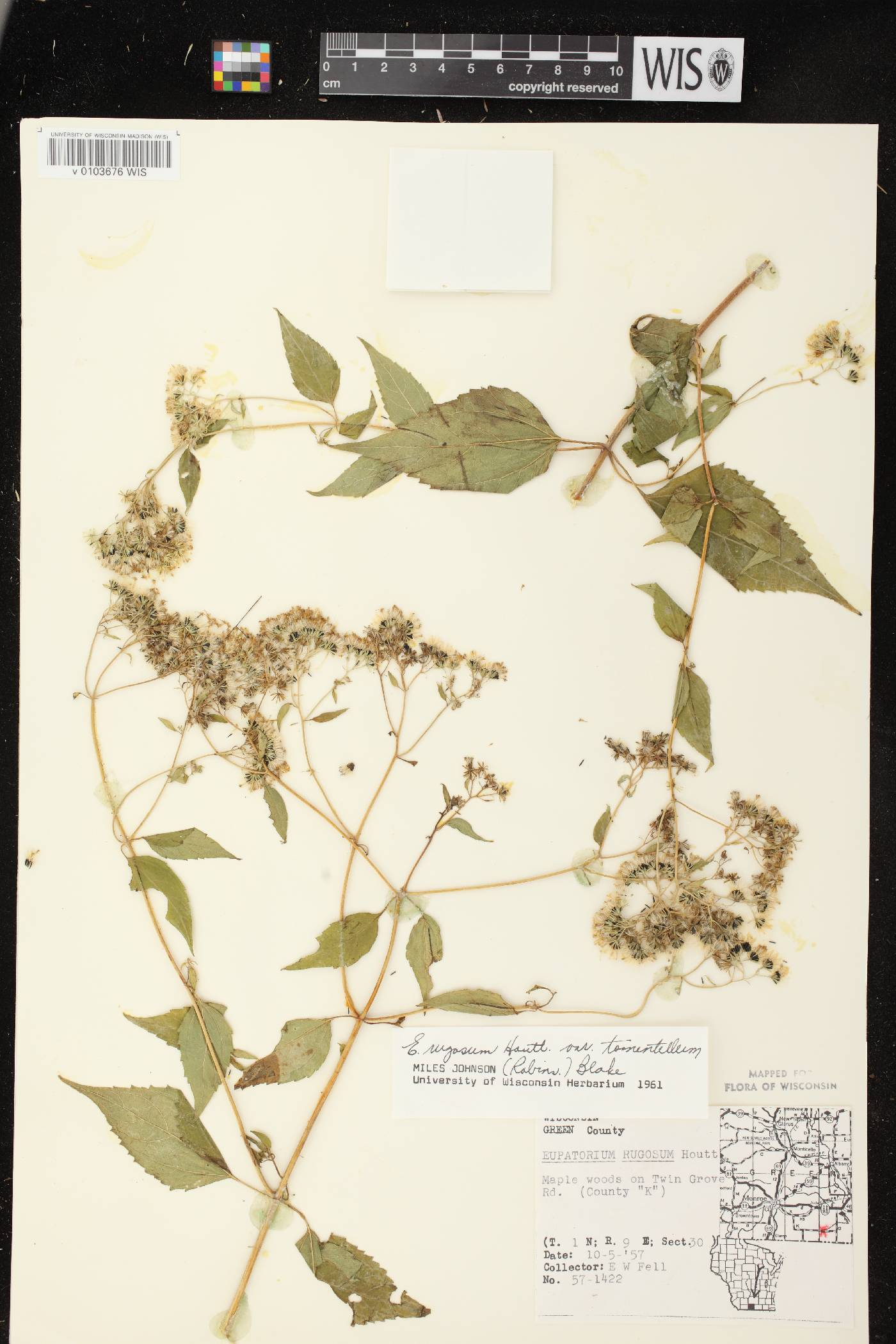 Ageratina altissima subsp. altissima image