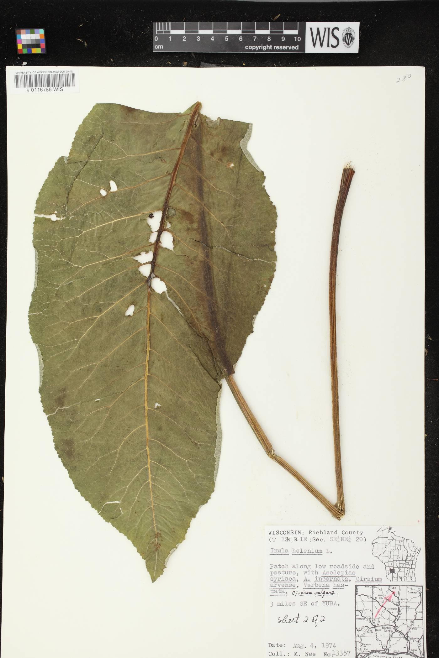 Inula helenium image
