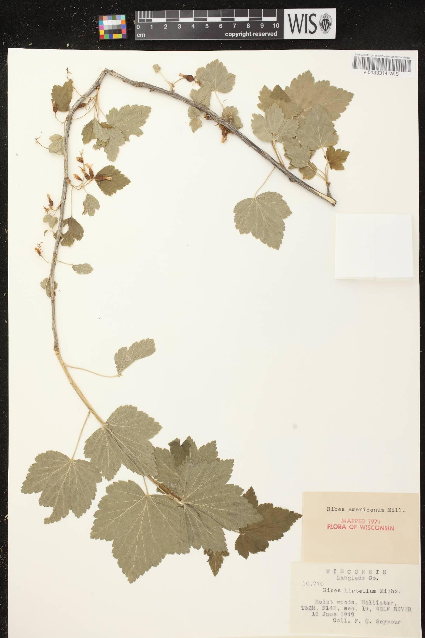 Ribes americanum image