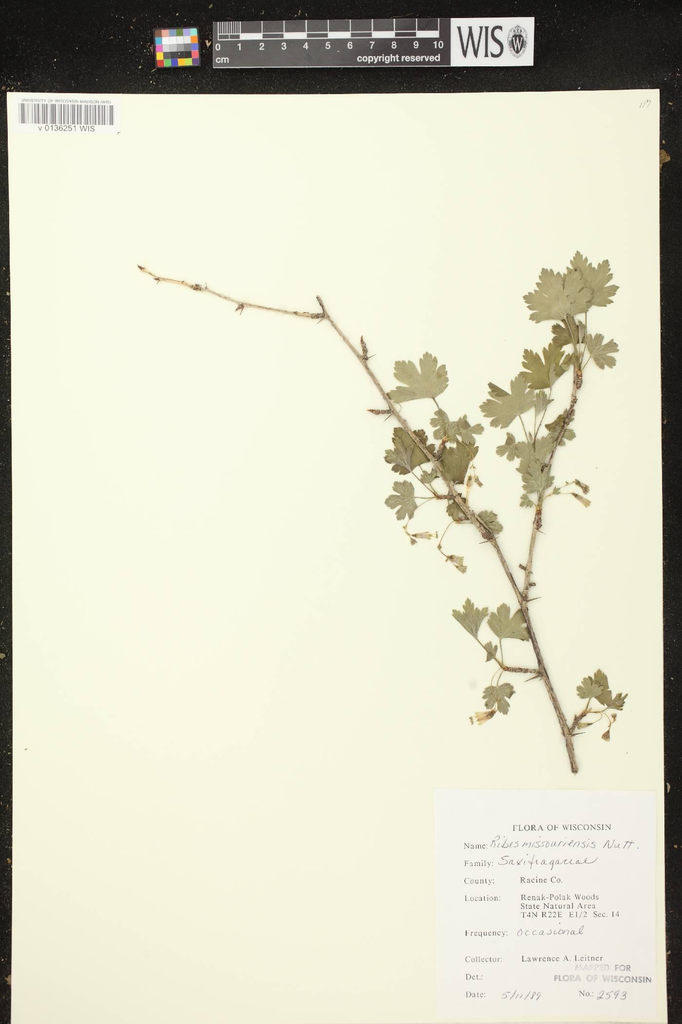 Ribes missouriense image
