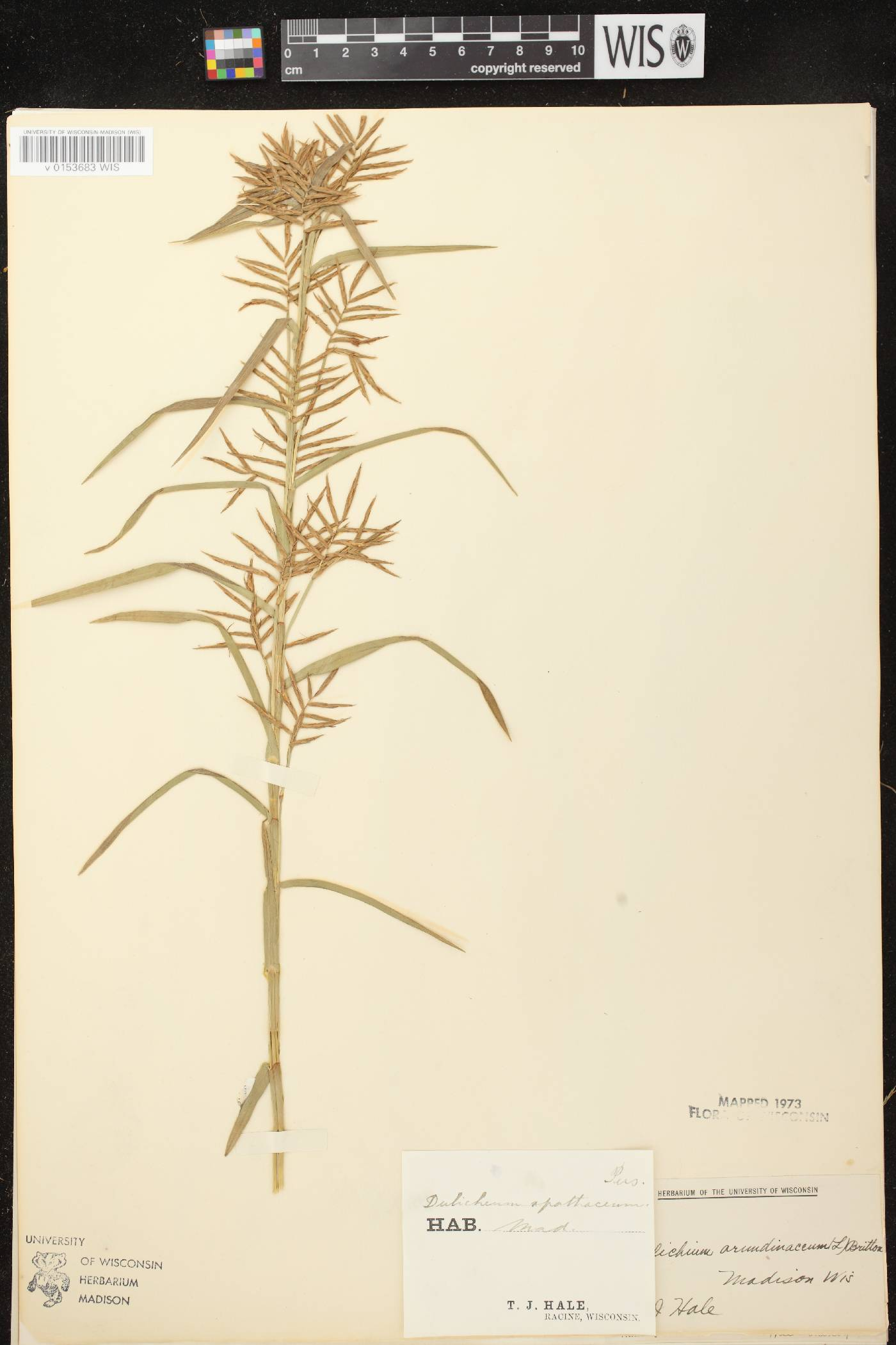 Dulichium arundinaceum var. arundinaceum image