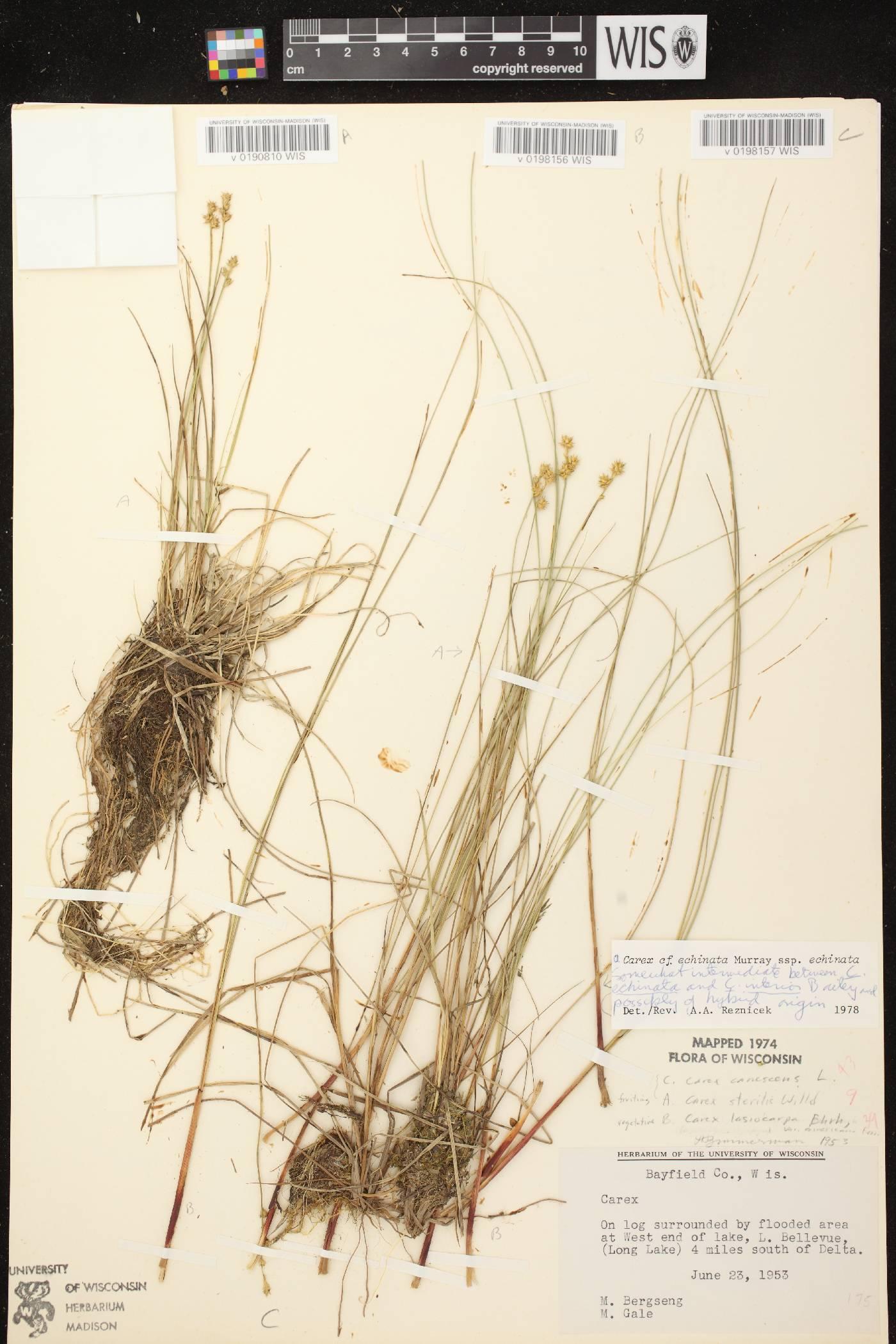 Carex x laricina image