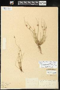 Image of Schoenoplectus smithii var. setosus