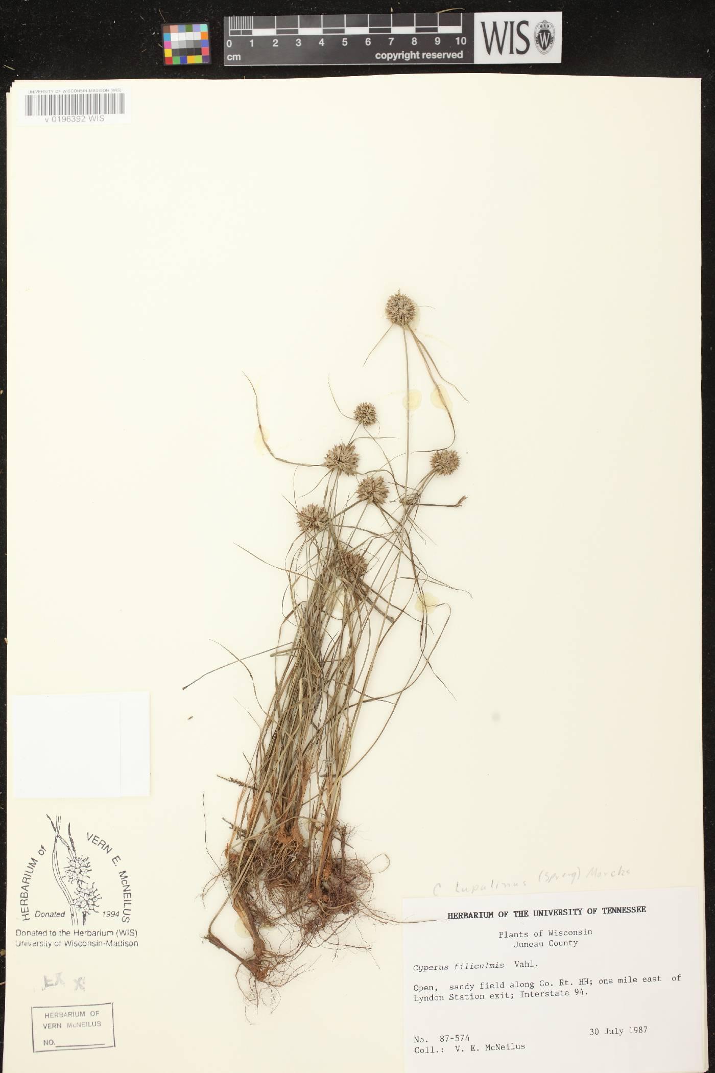 Cyperus lupulinus subsp. lupulinus image