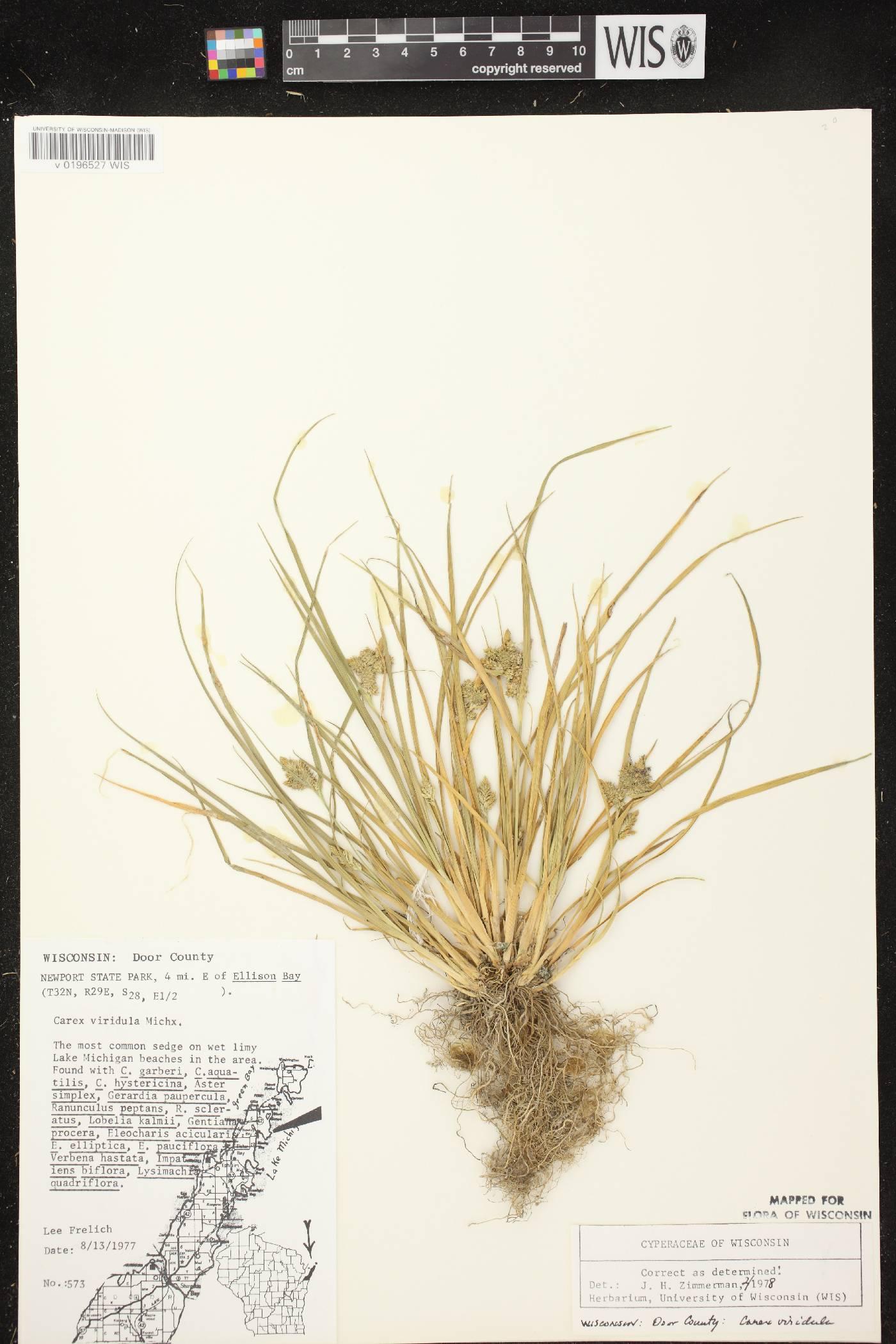 Carex viridula image