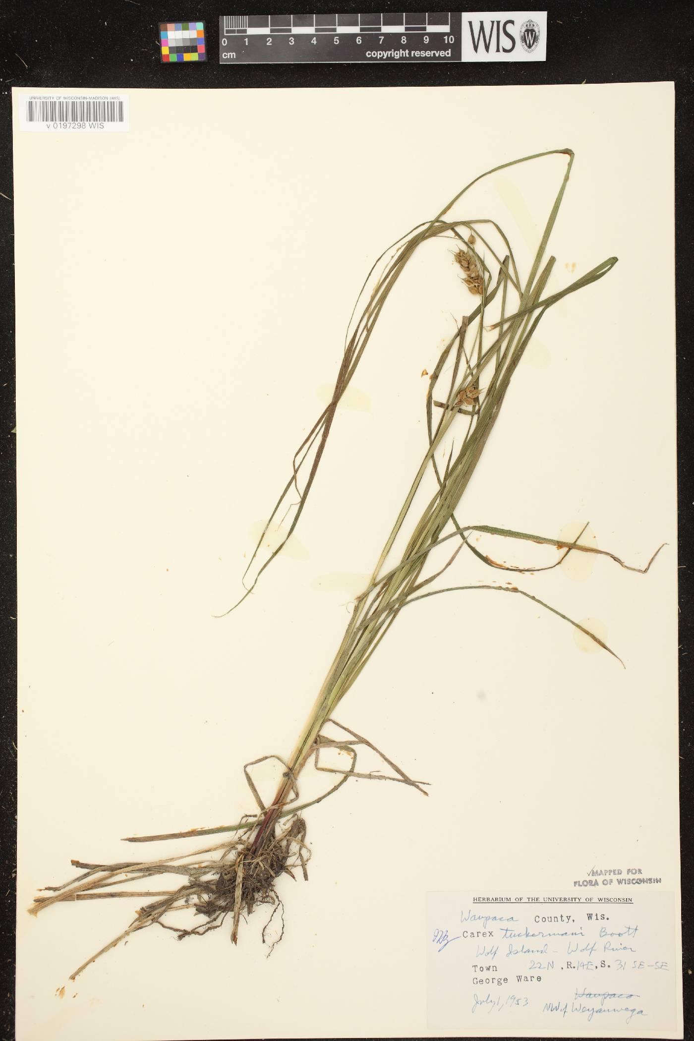 Carex tuckermanii image