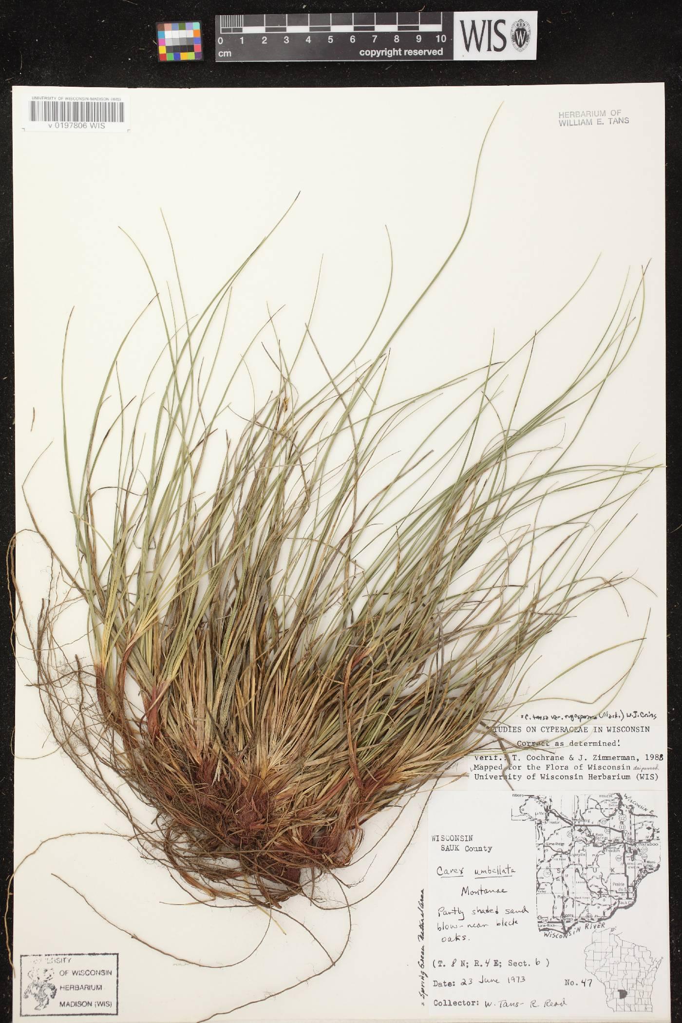 Carex tonsa var. tonsa image