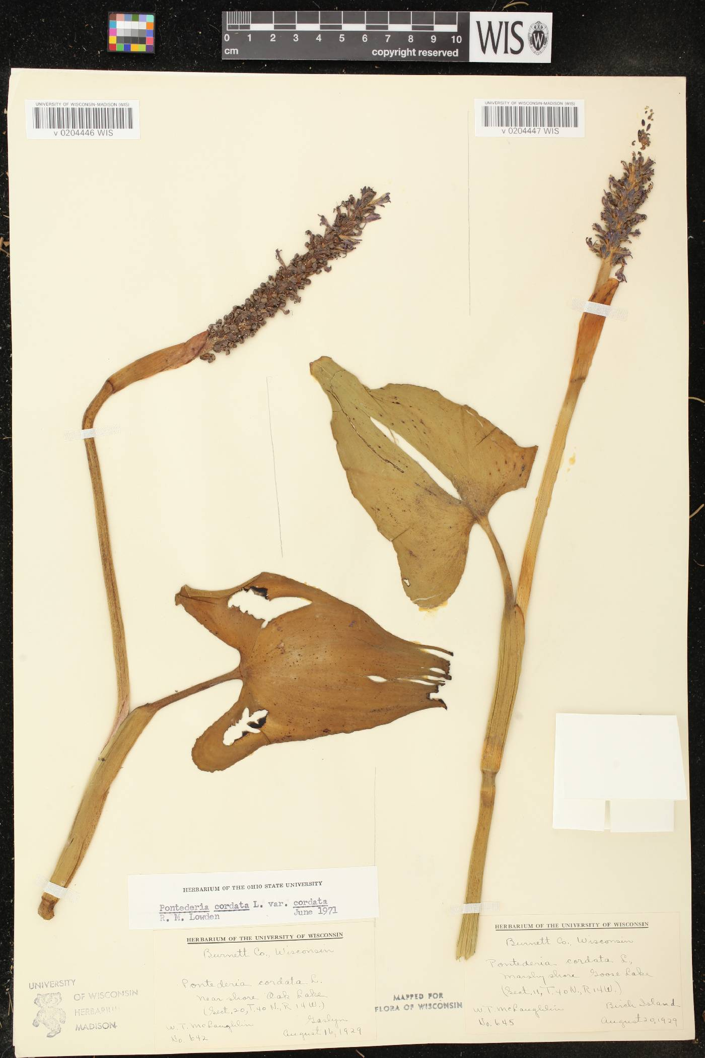 Pontederia cordata image