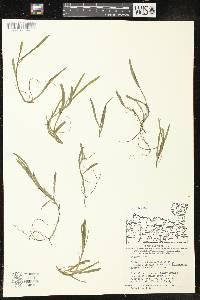 Image of Heteranthera