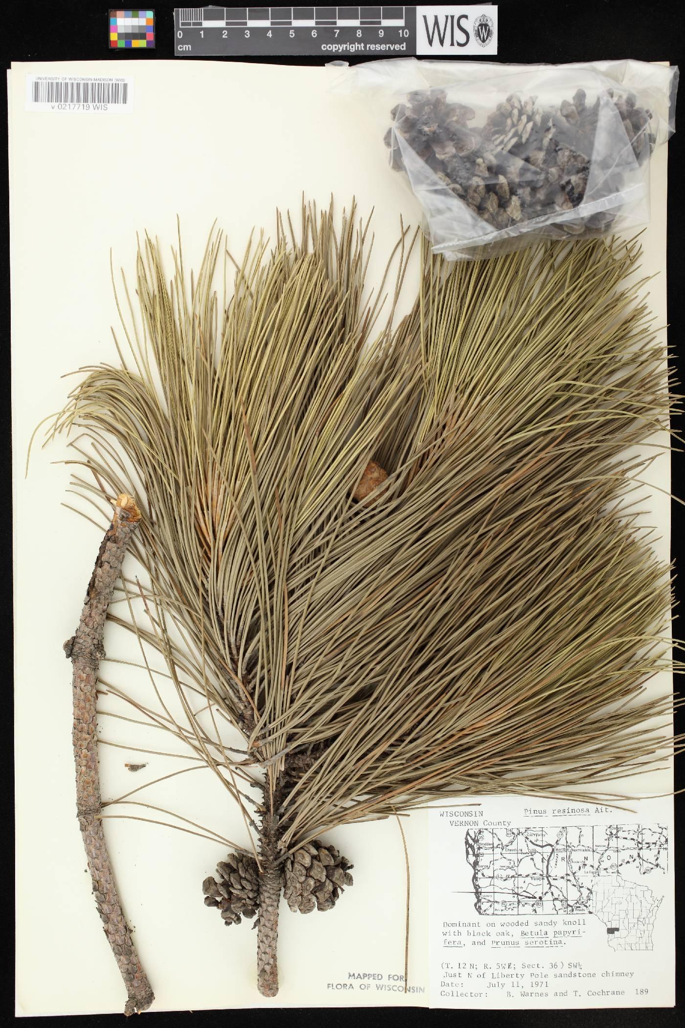 Pinus resinosa image
