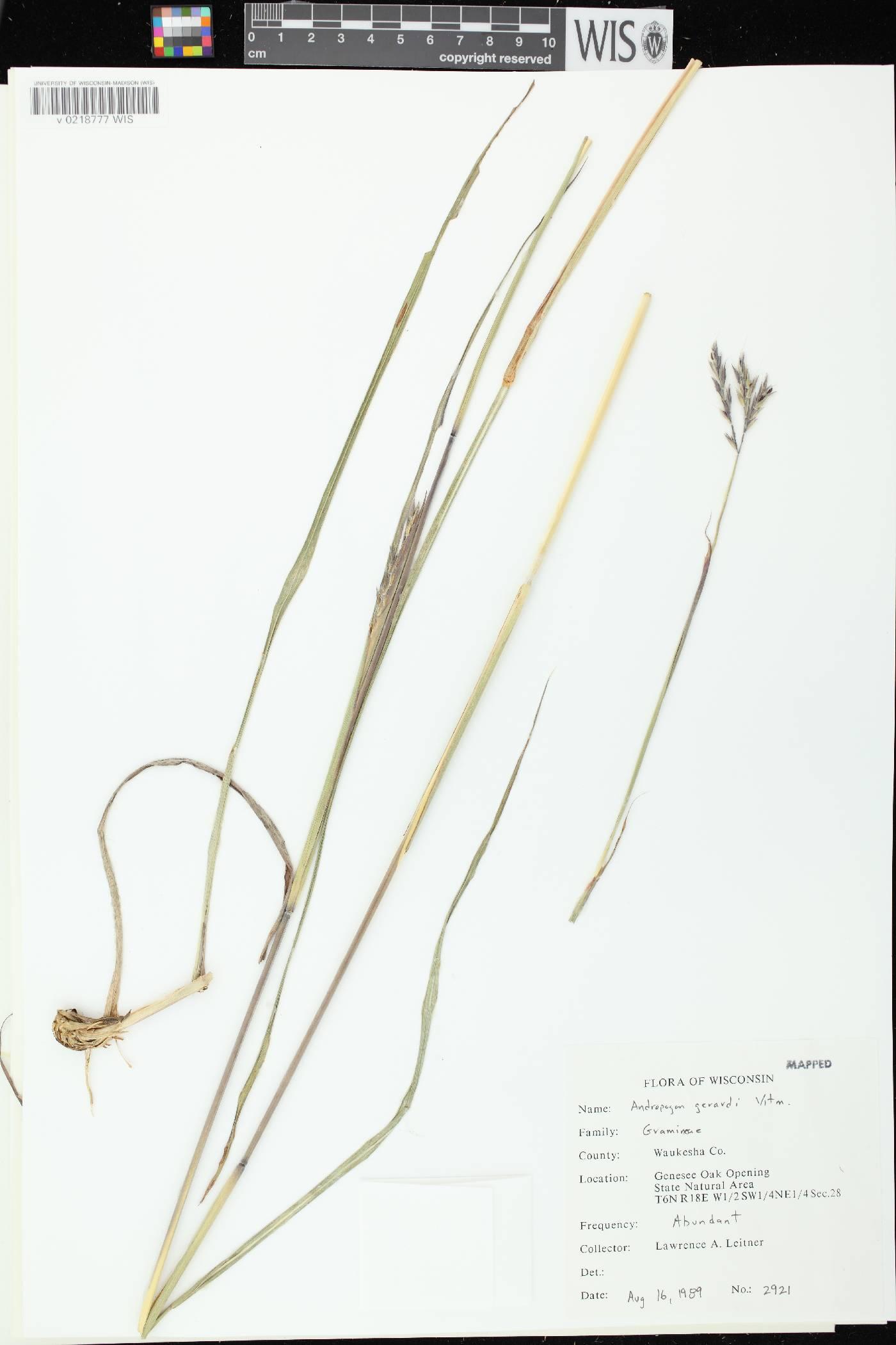Andropogon gerardii image