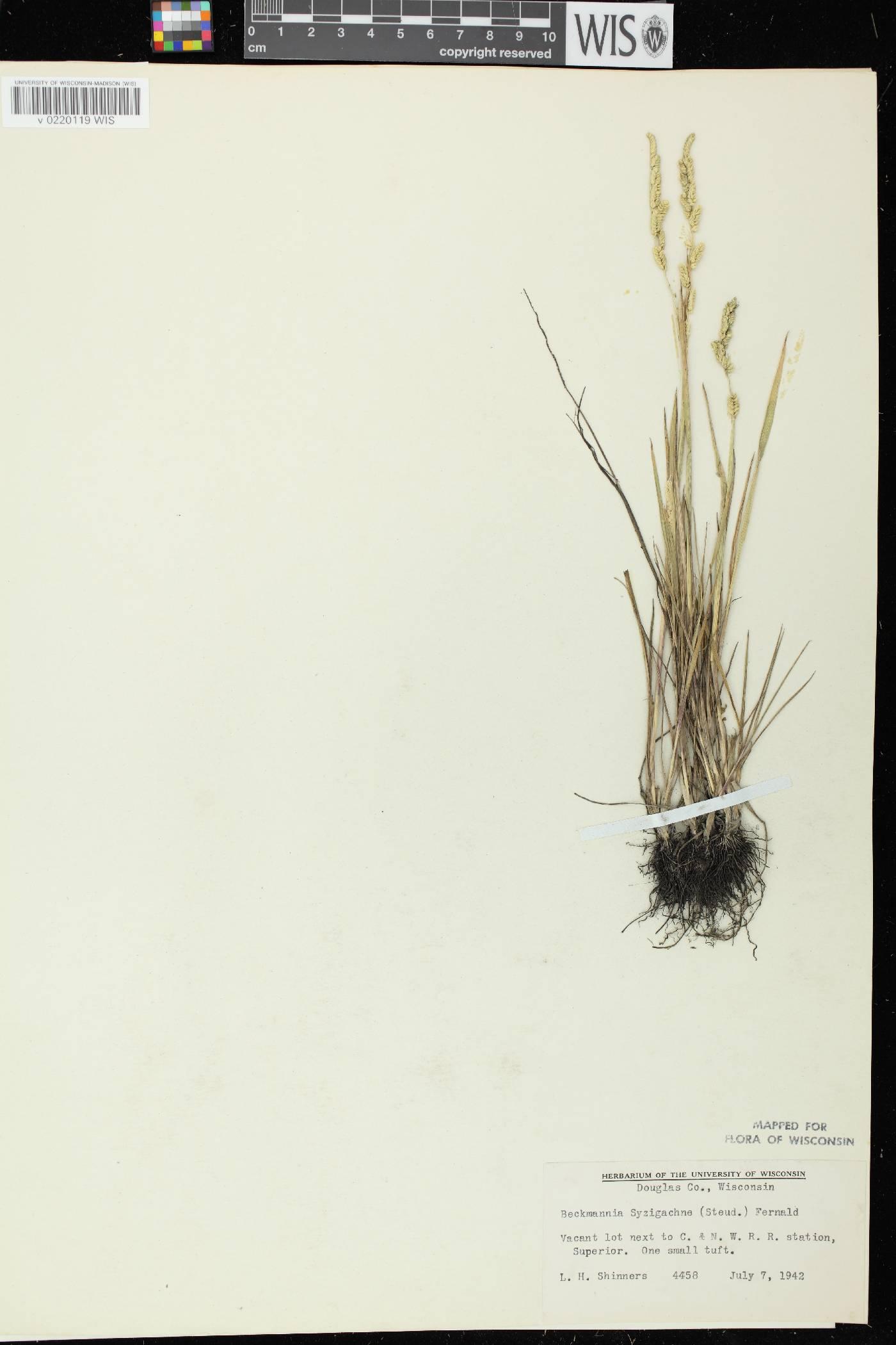 Beckmannia syzigachne image