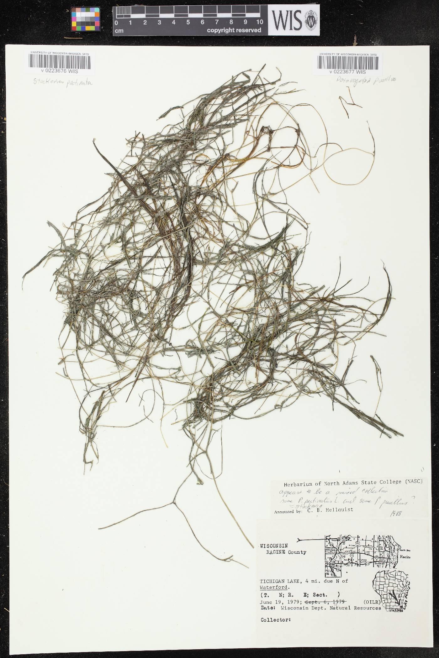 Stuckenia pectinata image