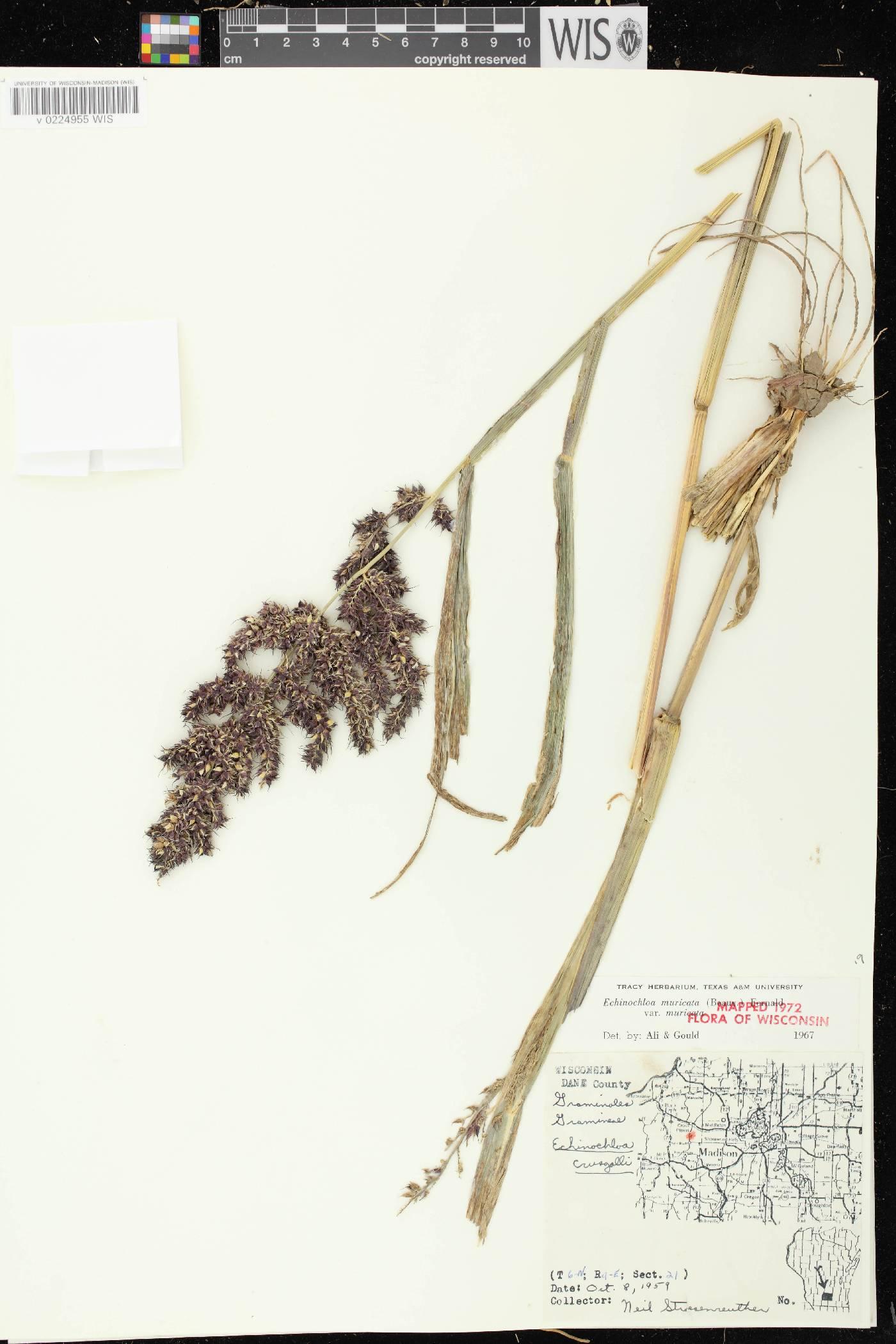 Echinochloa muricata var. muricata image