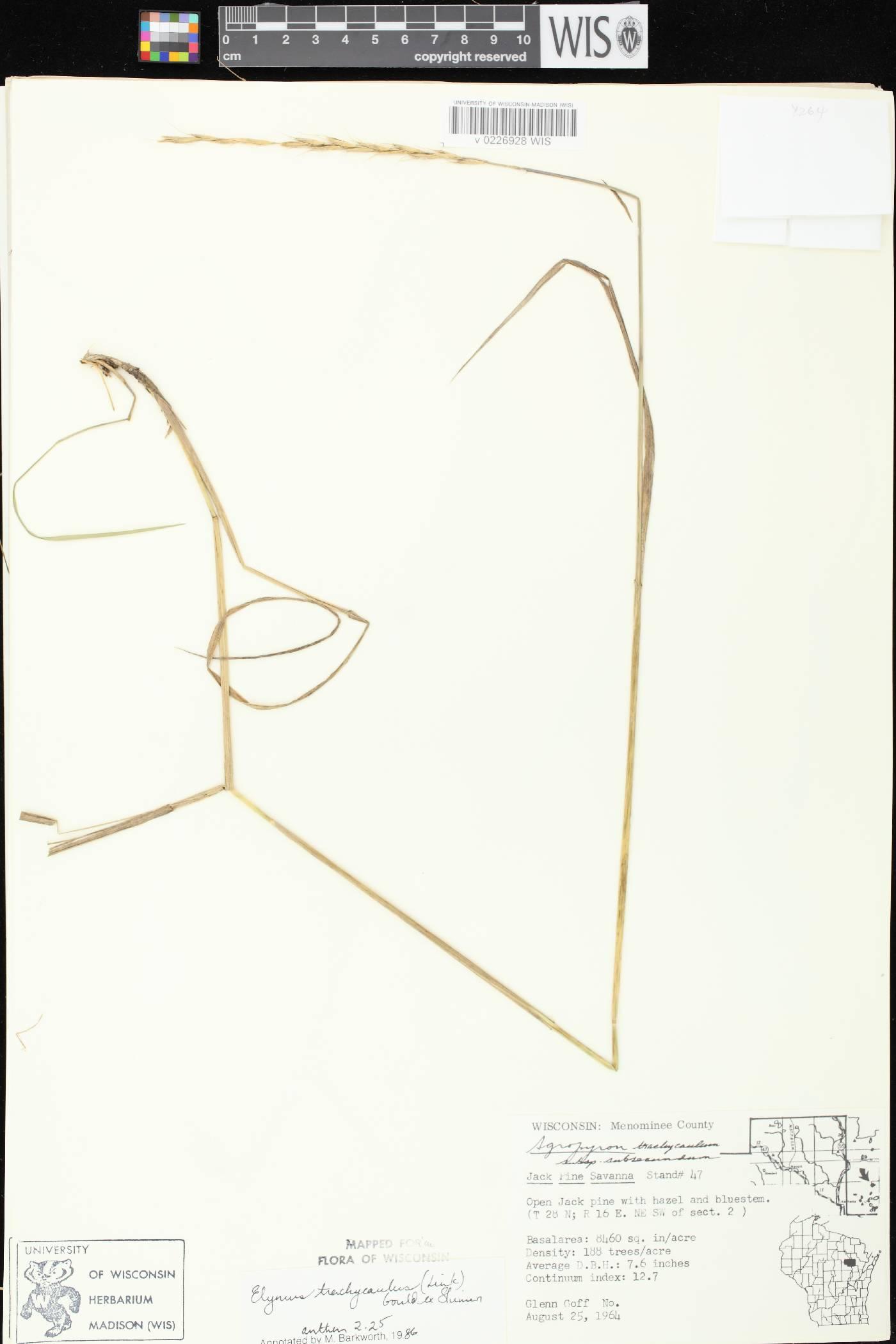 Elymus trachycaulus image