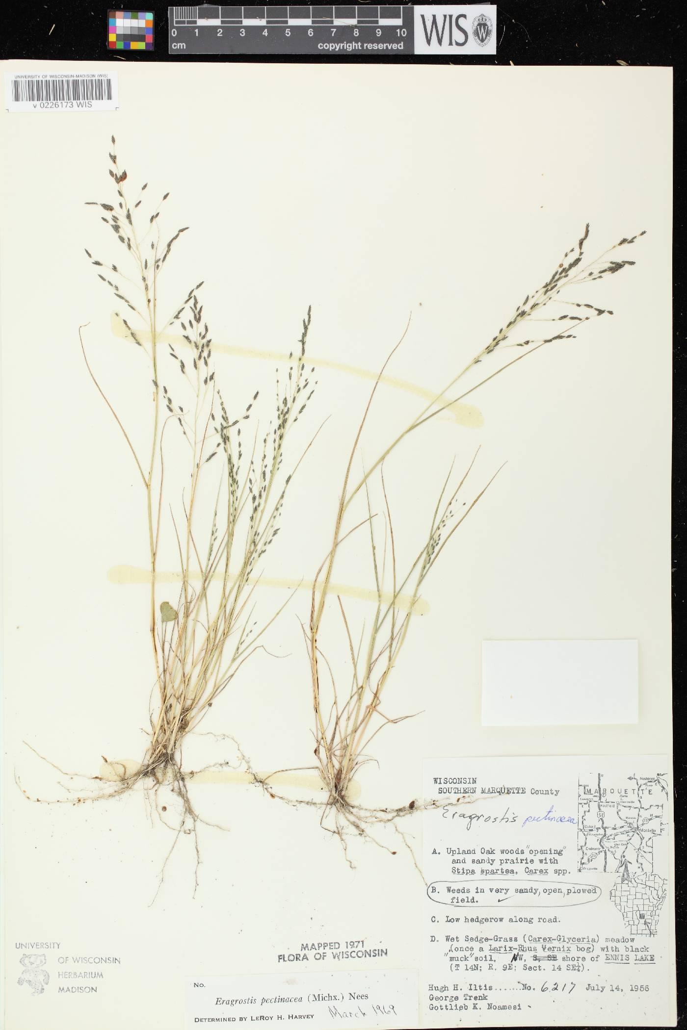 Eragrostis pectinacea var. pectinacea image