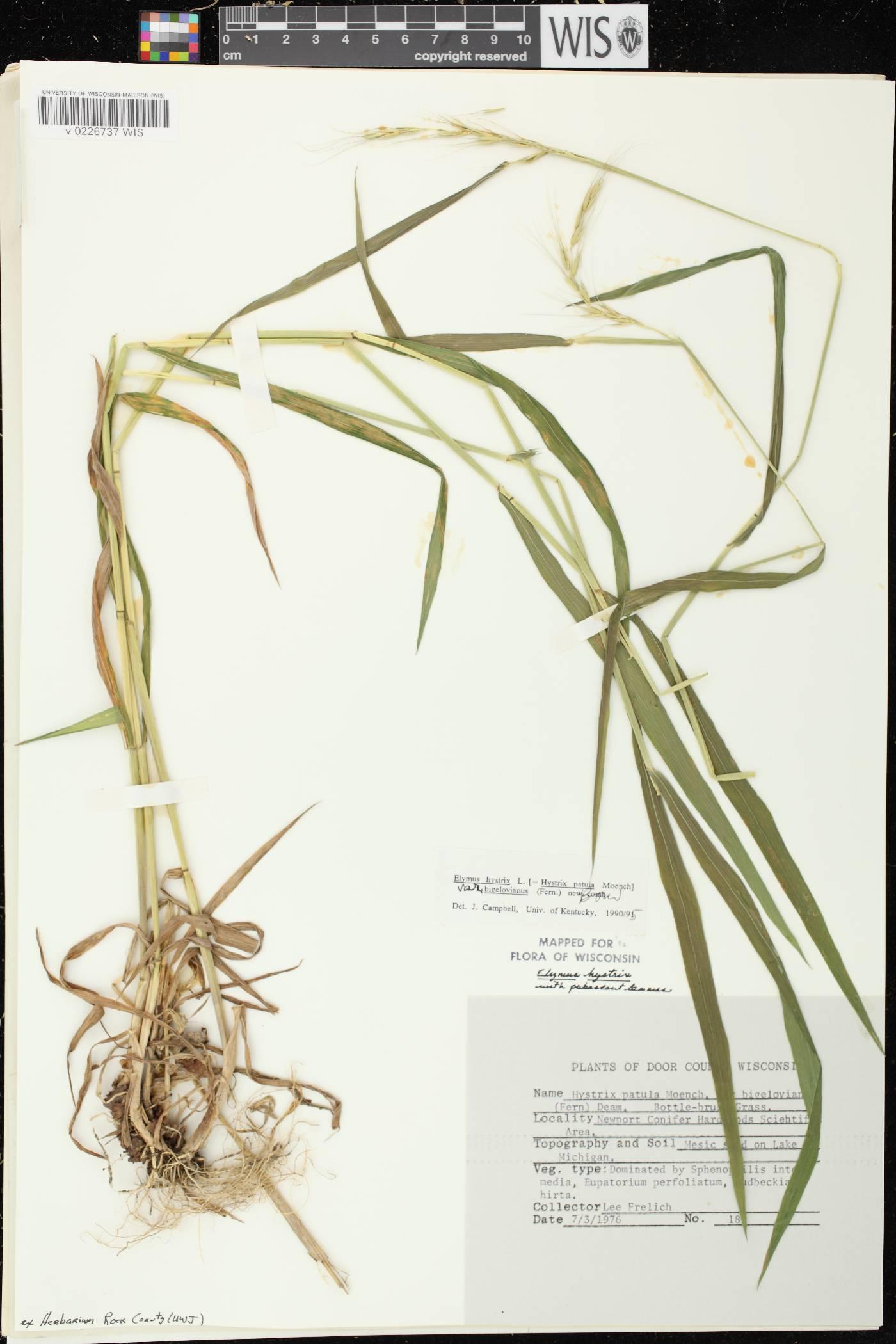 Elymus hystrix var. bigeloviana image