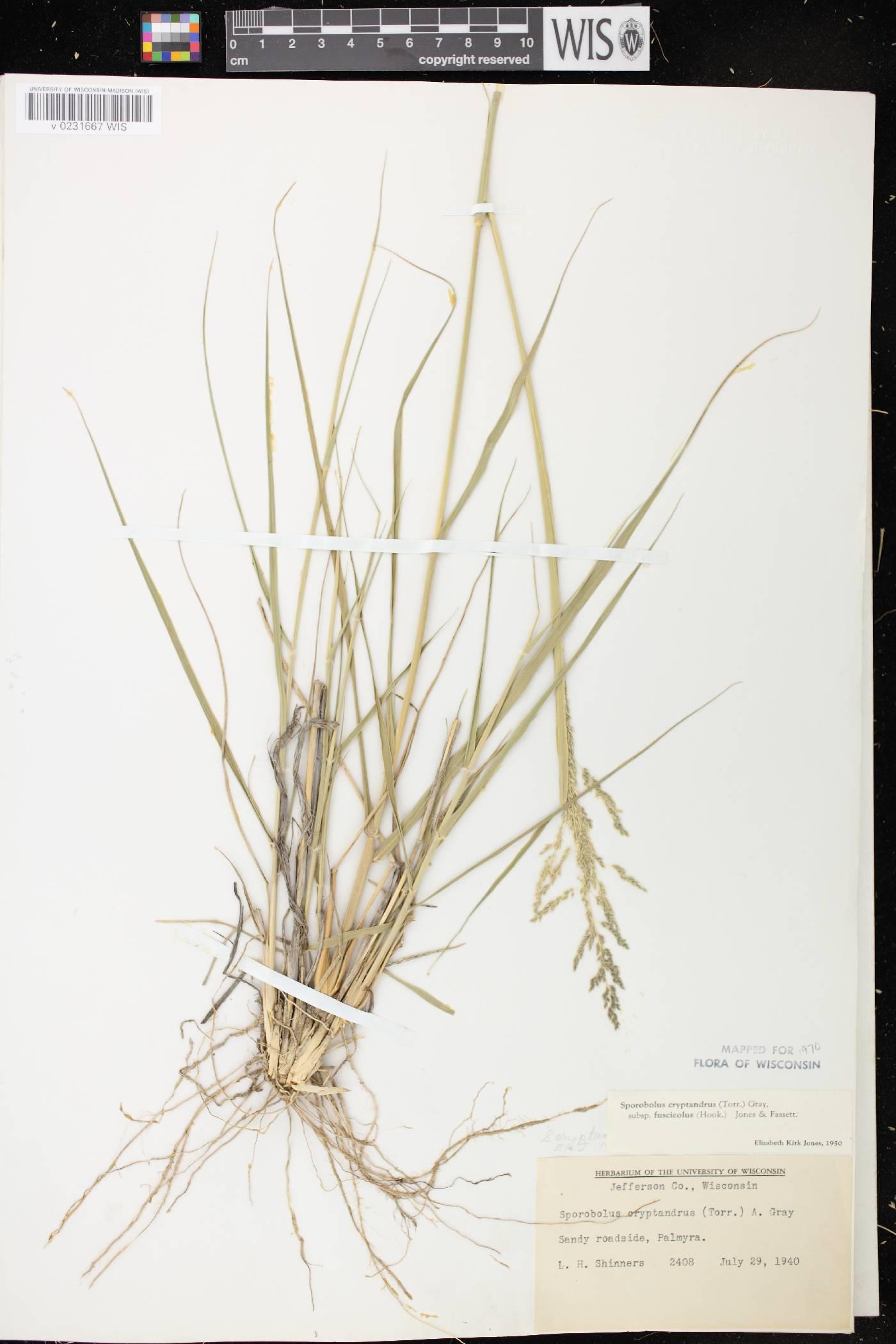 Sporobolus cryptandrus var. fuscicola image
