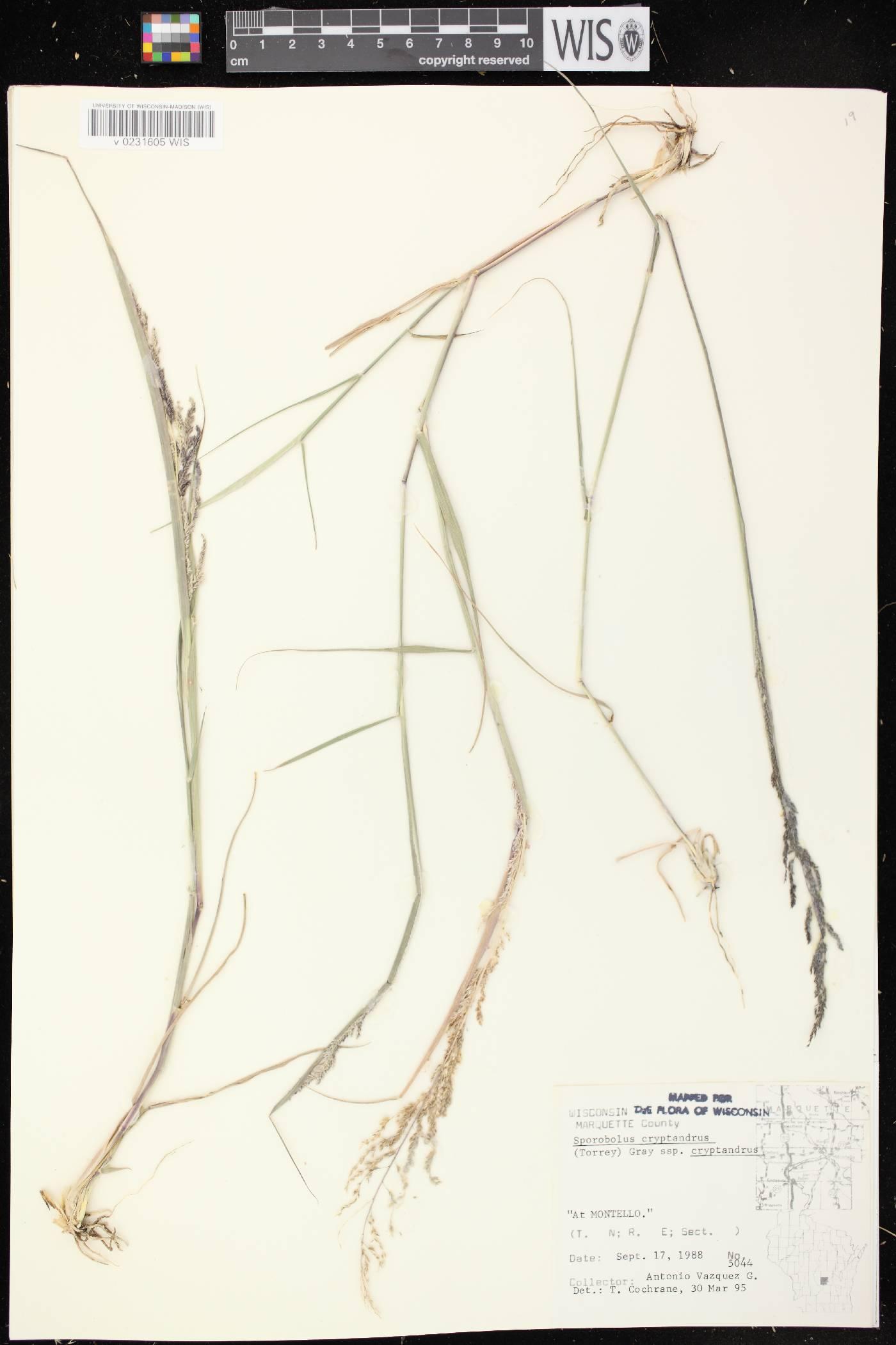 Sporobolus cryptandrus var. cryptandrus image