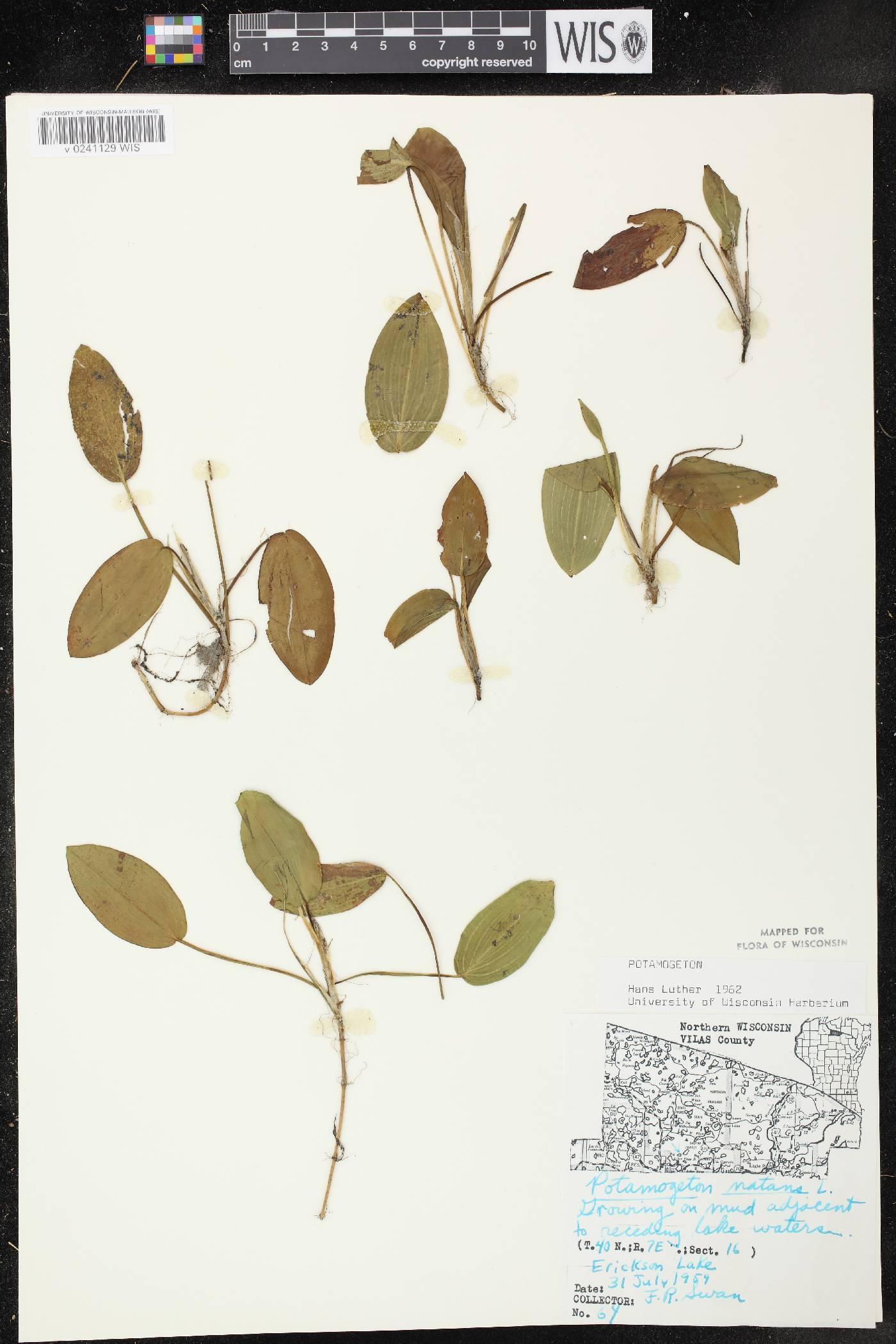 Potamogeton natans image