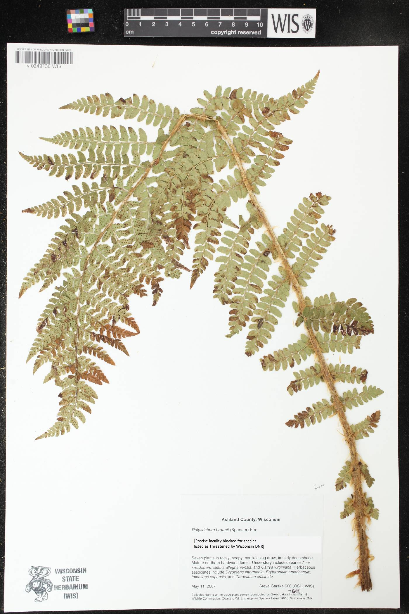 Polystichum braunii image