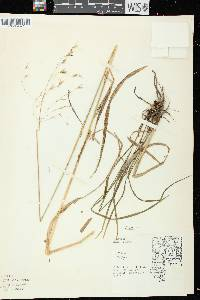 Image of Bromus