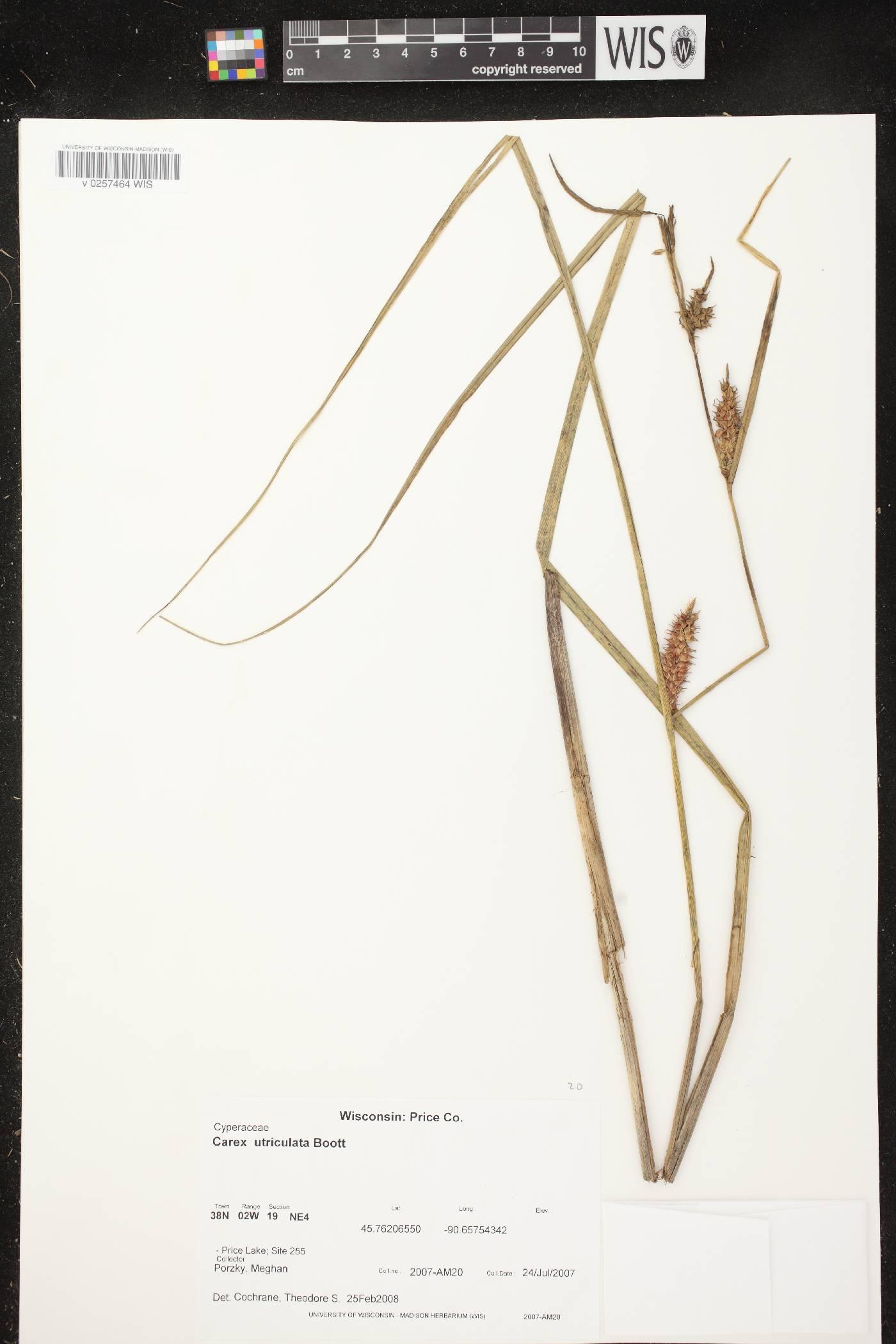 Carex utriculata image