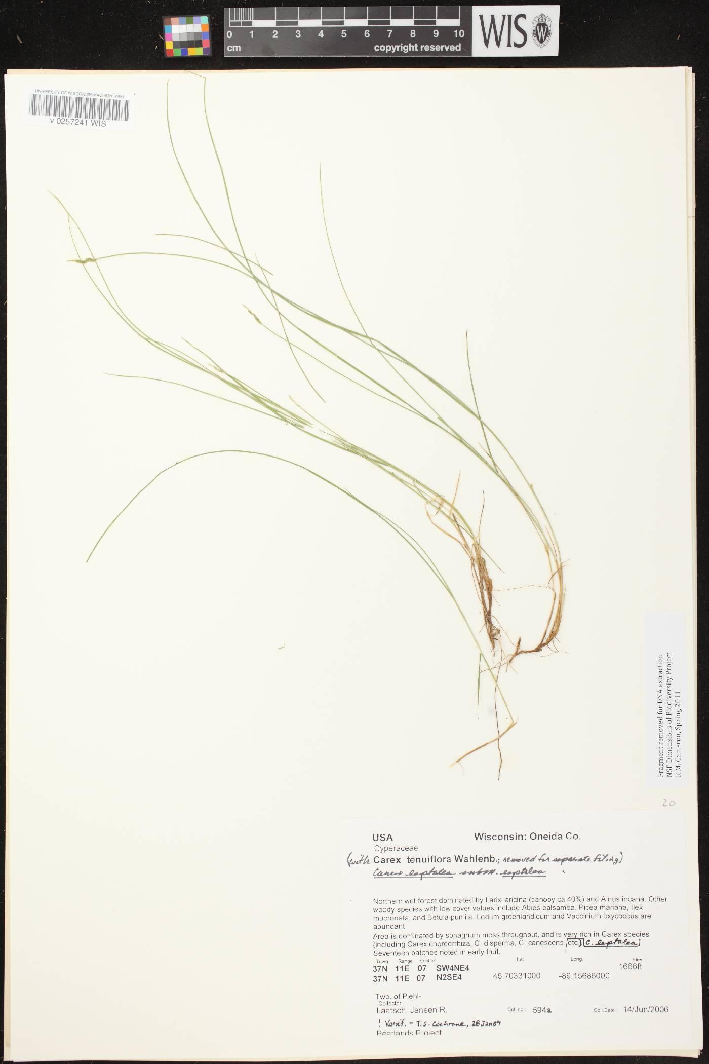 Carex leptalea subsp. leptalea image