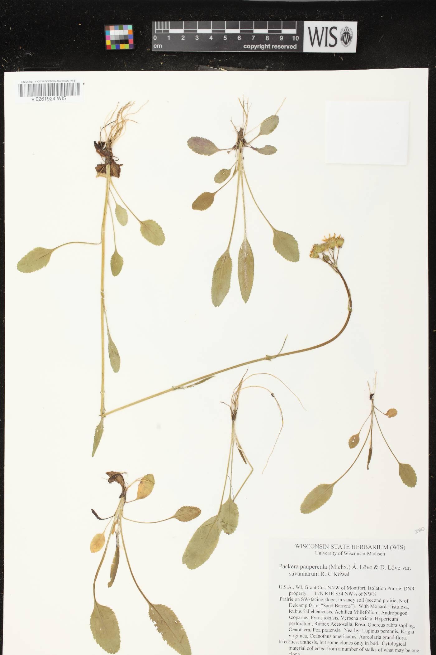 Packera paupercula var. savannarum image