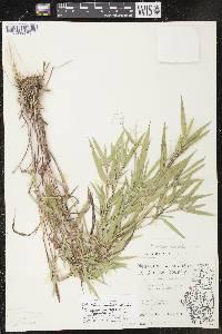 Image of Dichanthelium boreale