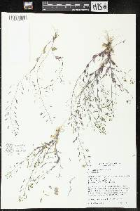 Image of Draba nemorosa