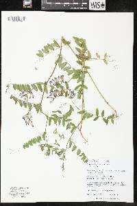 Image of Vicia americana