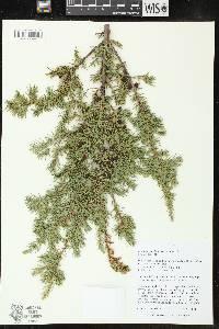 Image of Juniperus communis